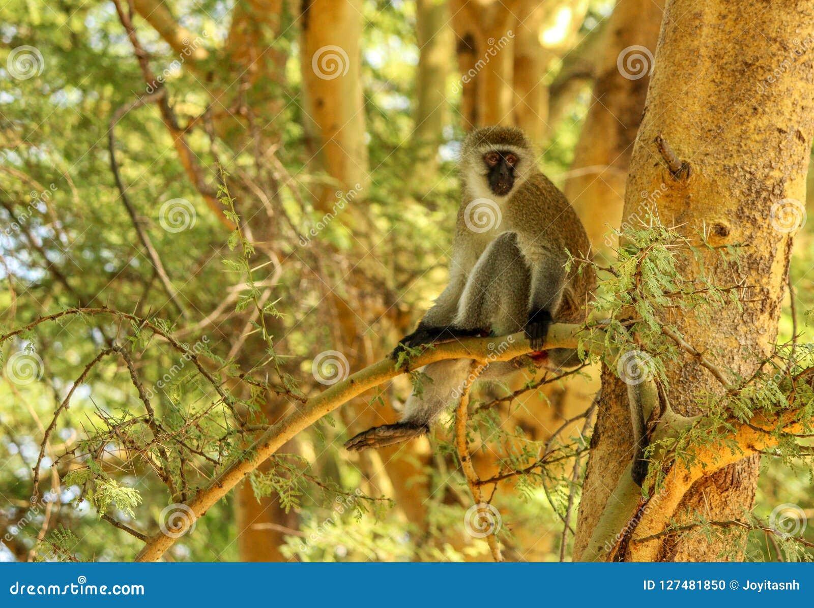 Обезьяна Vervet на ветви дерева акации