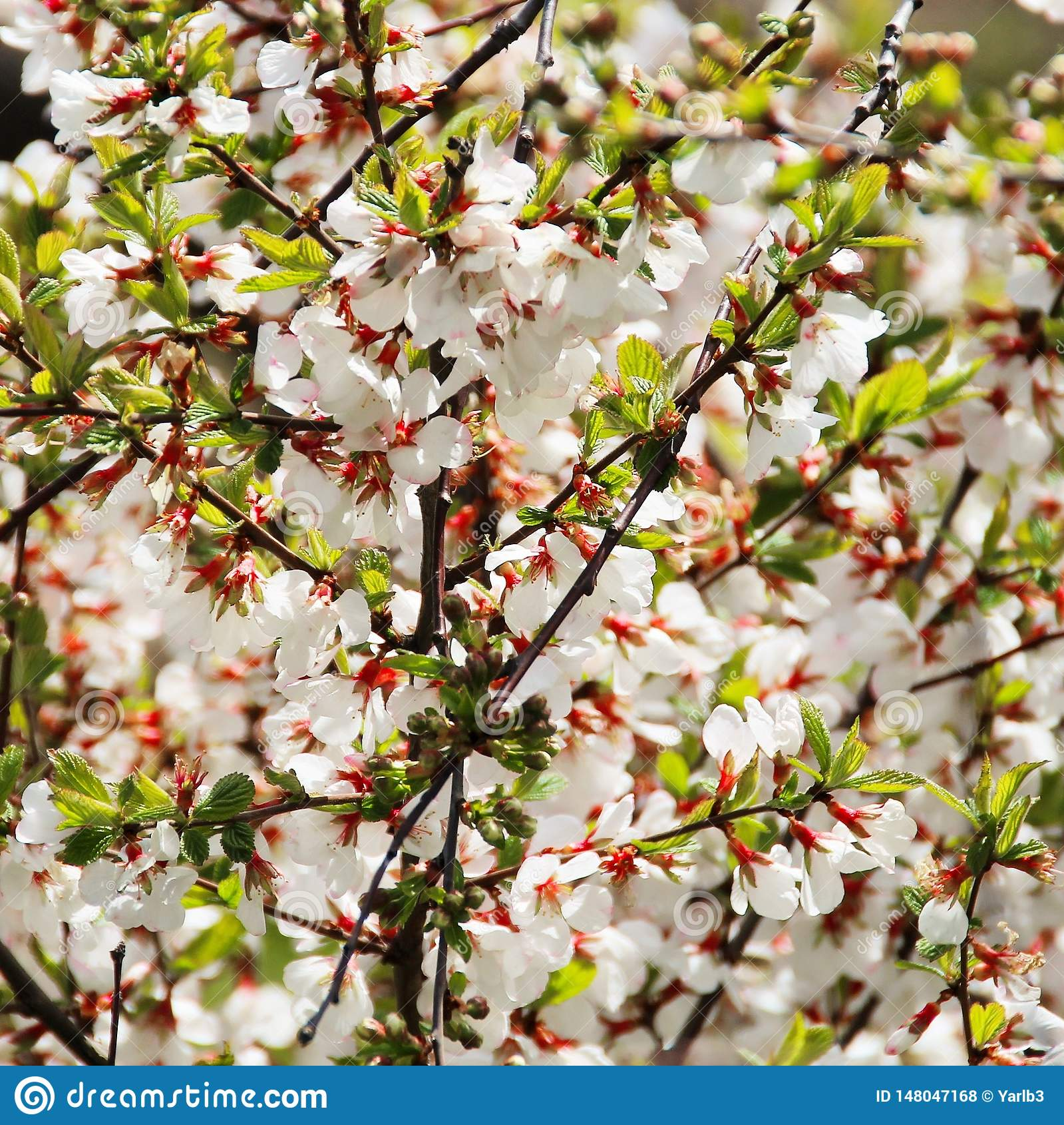 Обильно зацветая вишня
