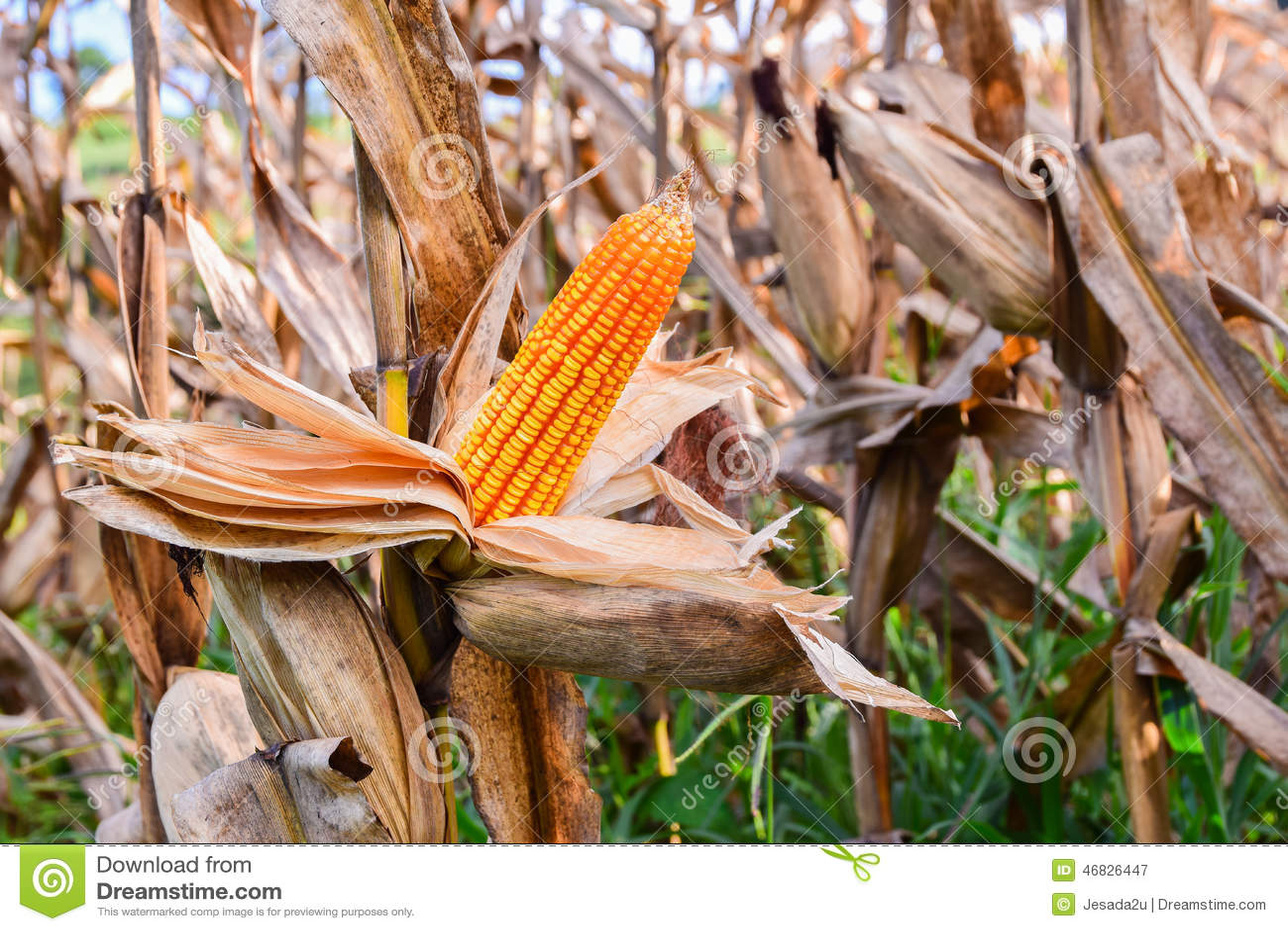 Обильный в кукурузных полях отразите солнечный свет , Выразить концепцию качества почвы, удобрение, или семя мозоли лучше
