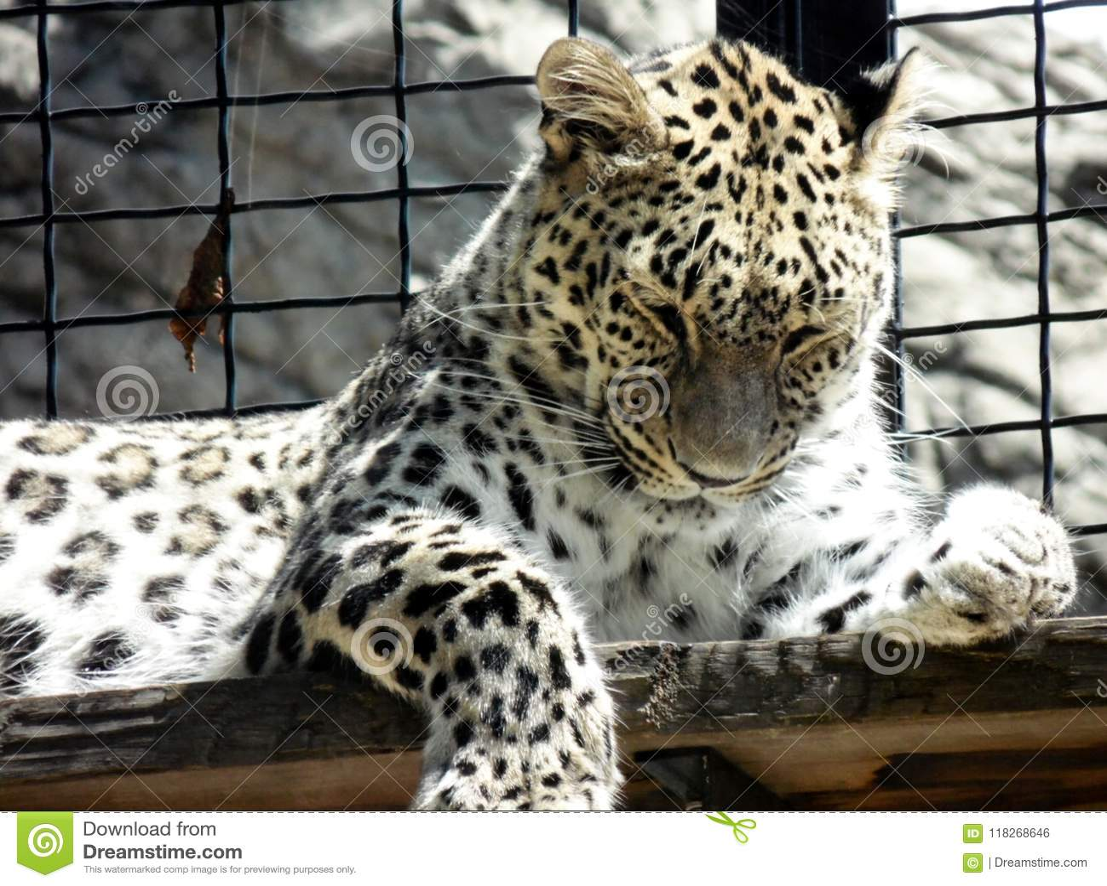 Обои крупного плана одичалого леопарда лежа на деревянной доске на зоопарке, портрете хищника кошачьем в клетке