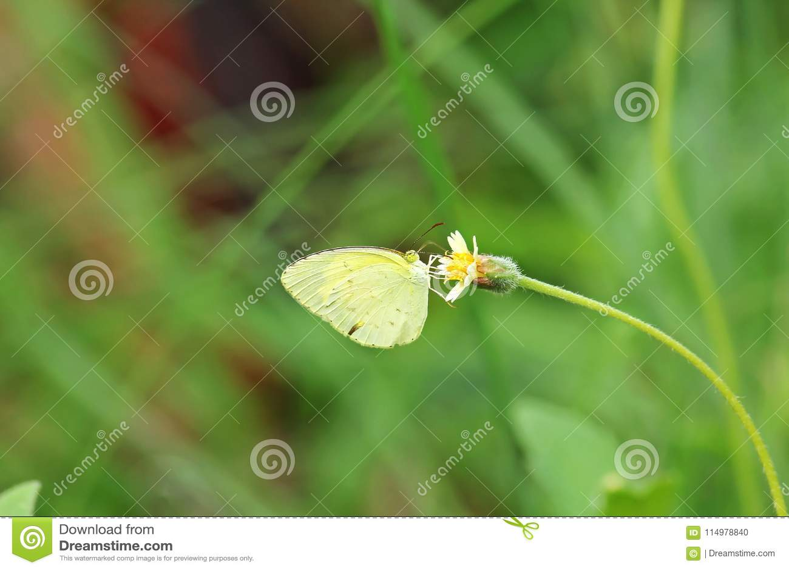 Общая бабочка желтого цвета травы на желтом цветке