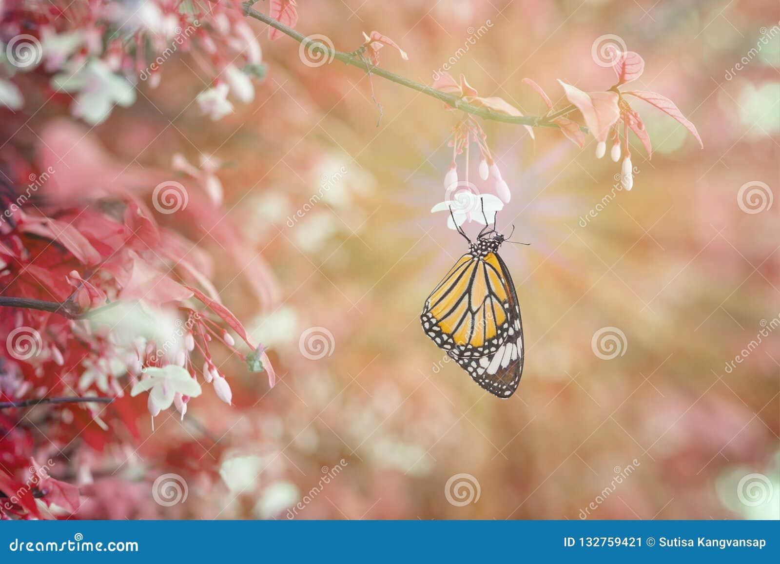 Общая бабочка тигра отдыхая на белом цветке