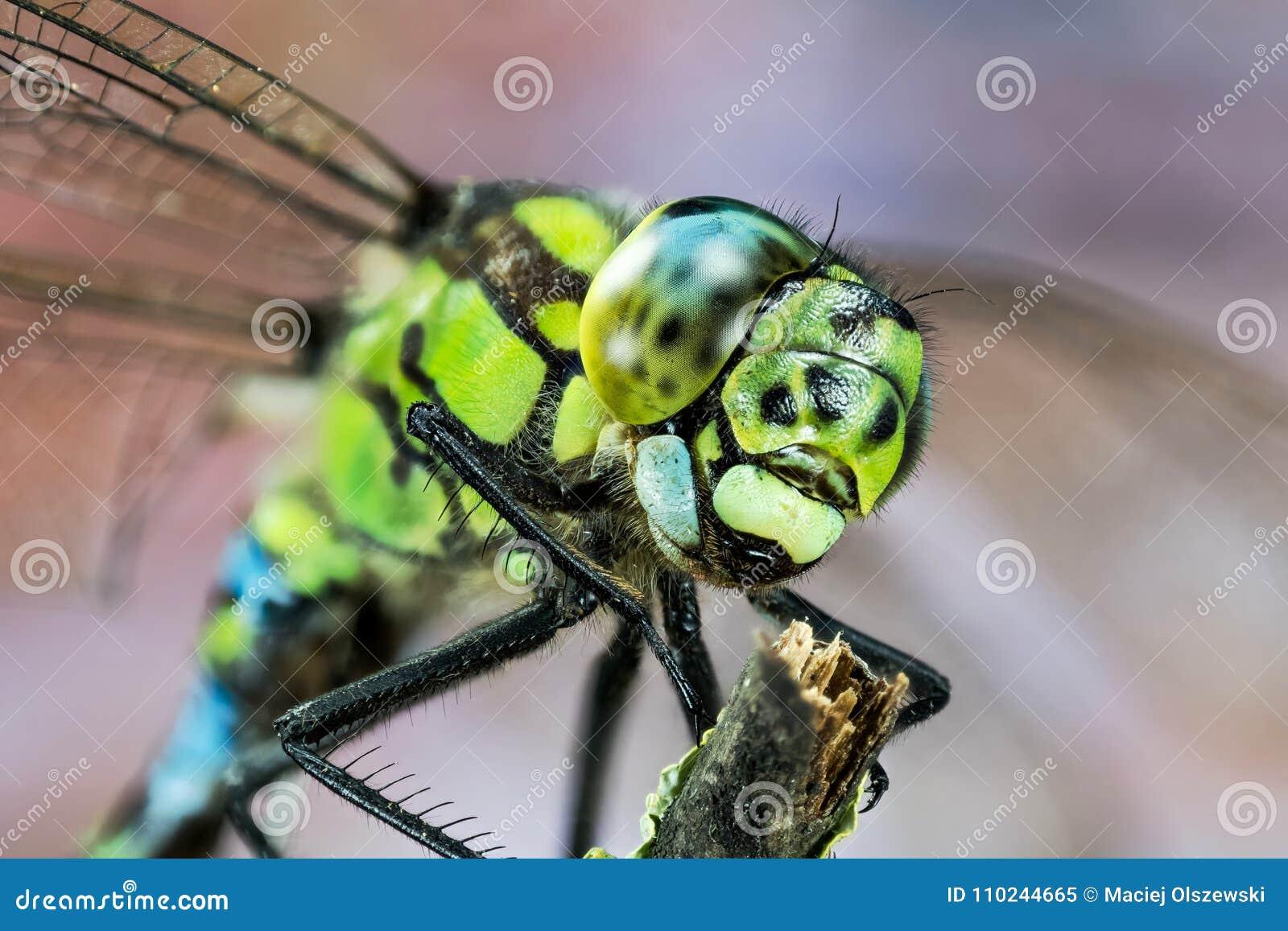 Общая лоточница, Dragonfly, Dragonfly лоточницы, juncea Aeshna