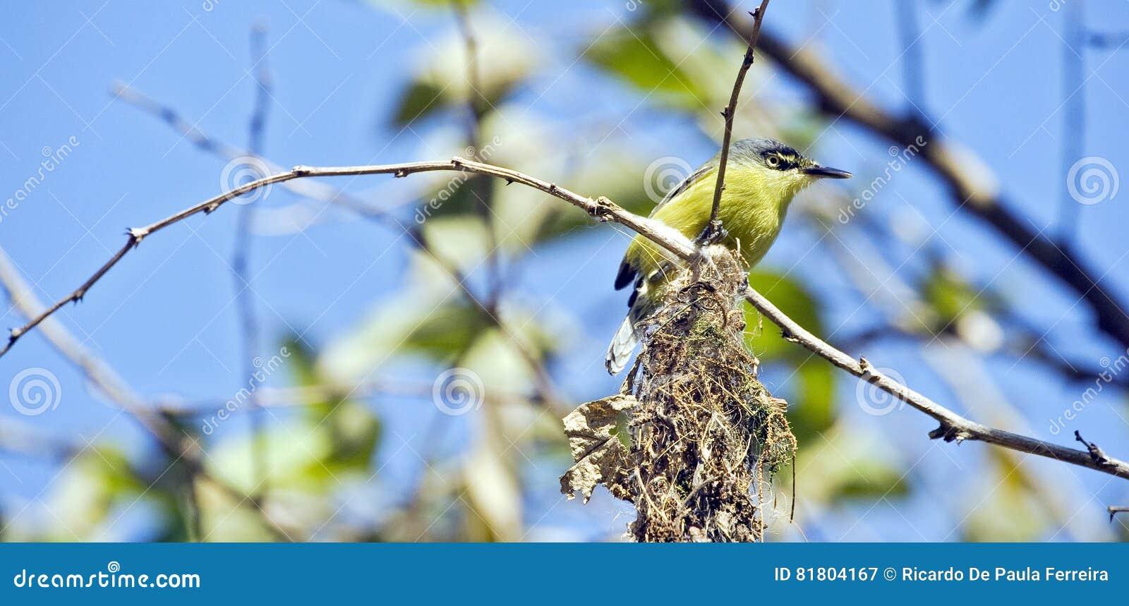 Общее гнездо здания tody-мухоловки