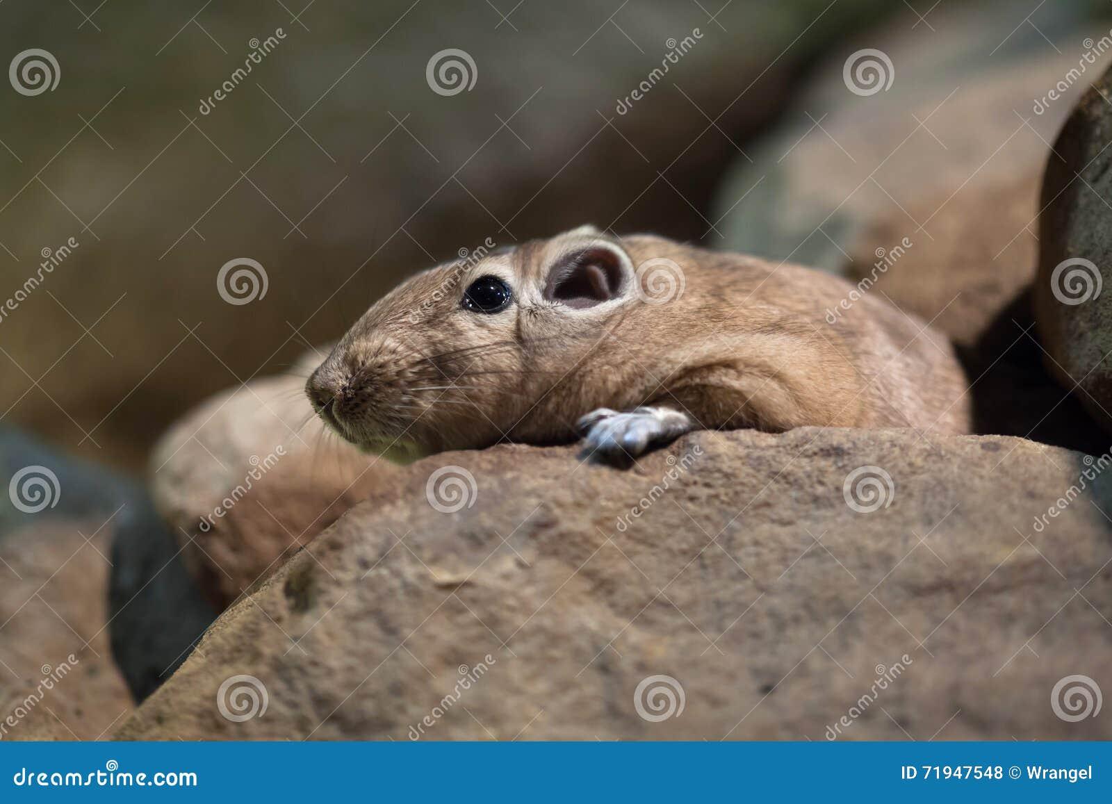 Общее gundi (gundi Ctenodactylus)