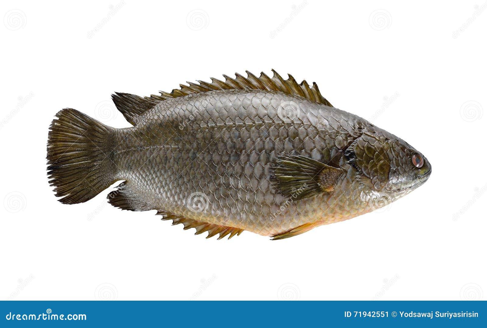Общие взбираясь рыбы окуня или рыбы Koi на белой предпосылке