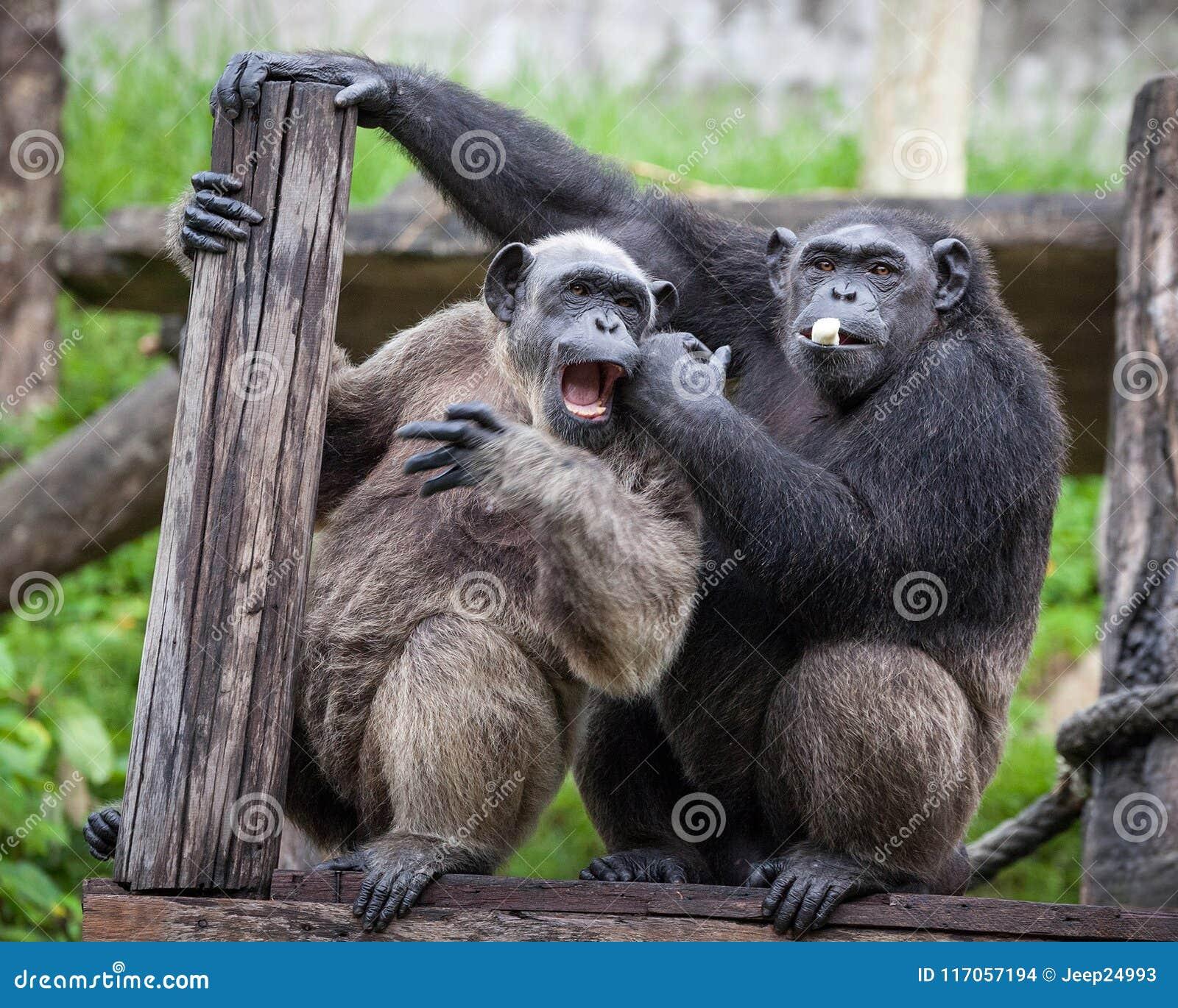 Общий шимпанзе сидя затем в влюбленности