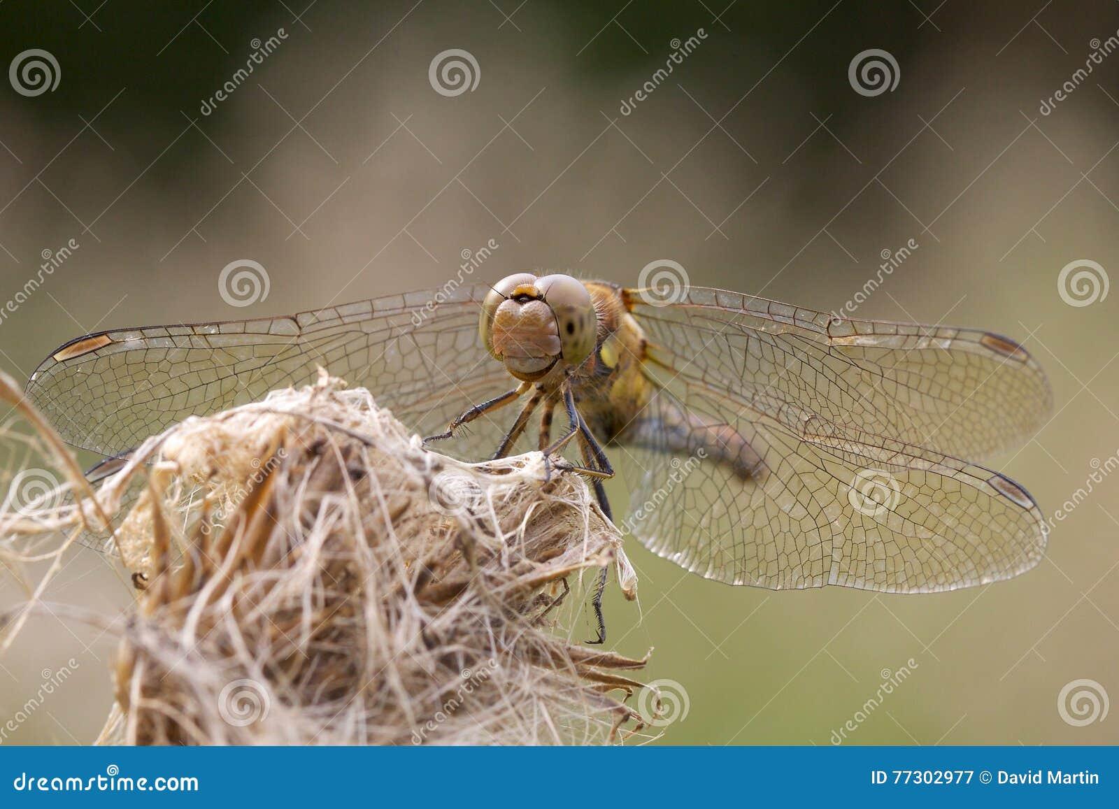 Общий dragonfly Dater на старой голове цветка