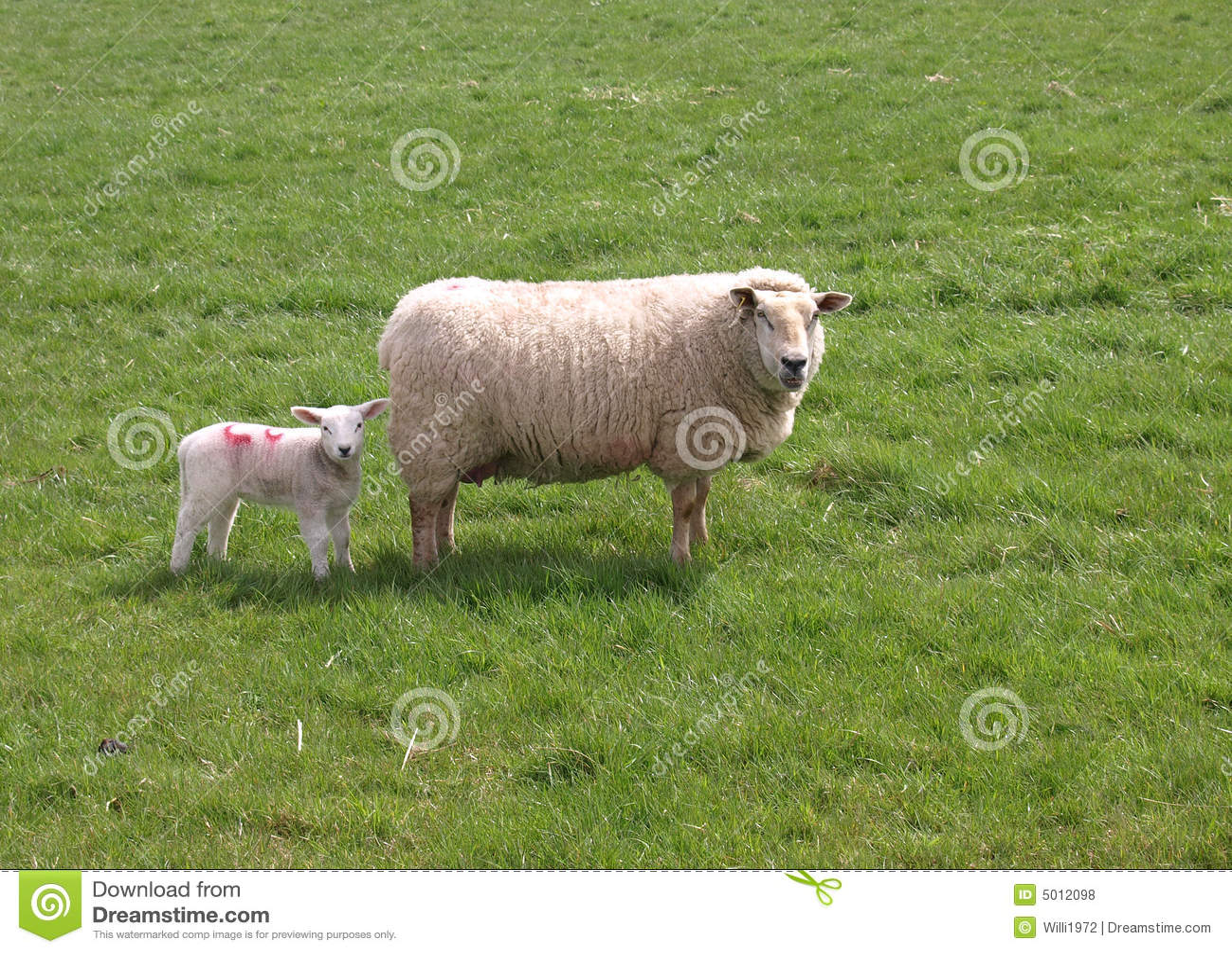 овечка овцематки