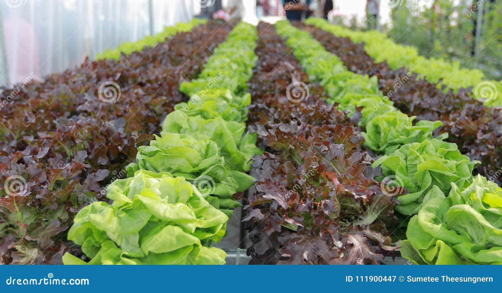 Овощи органические и Hydroponic капуста овощей растя внутри