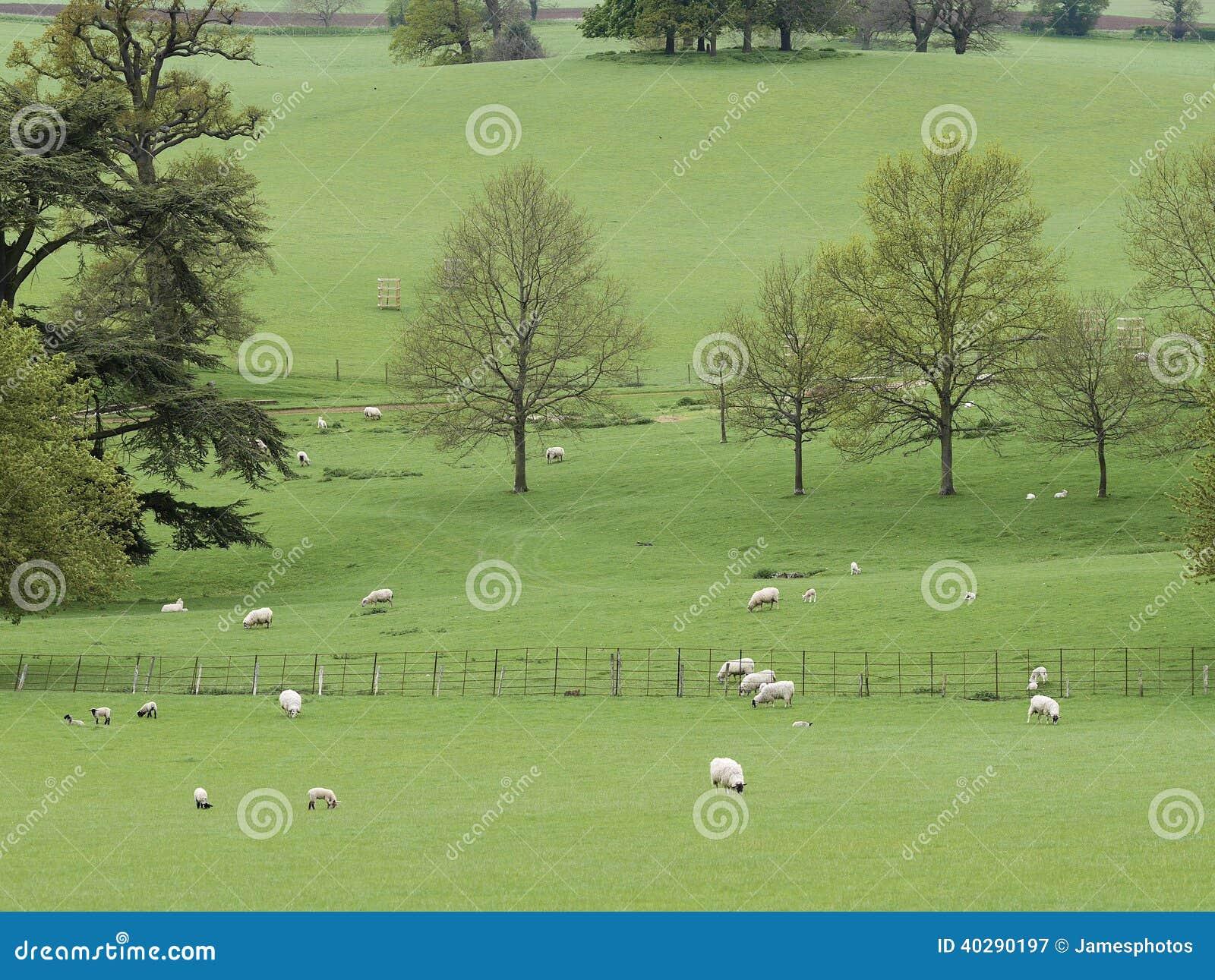 Овцы ландшафта с овечками в Parkland