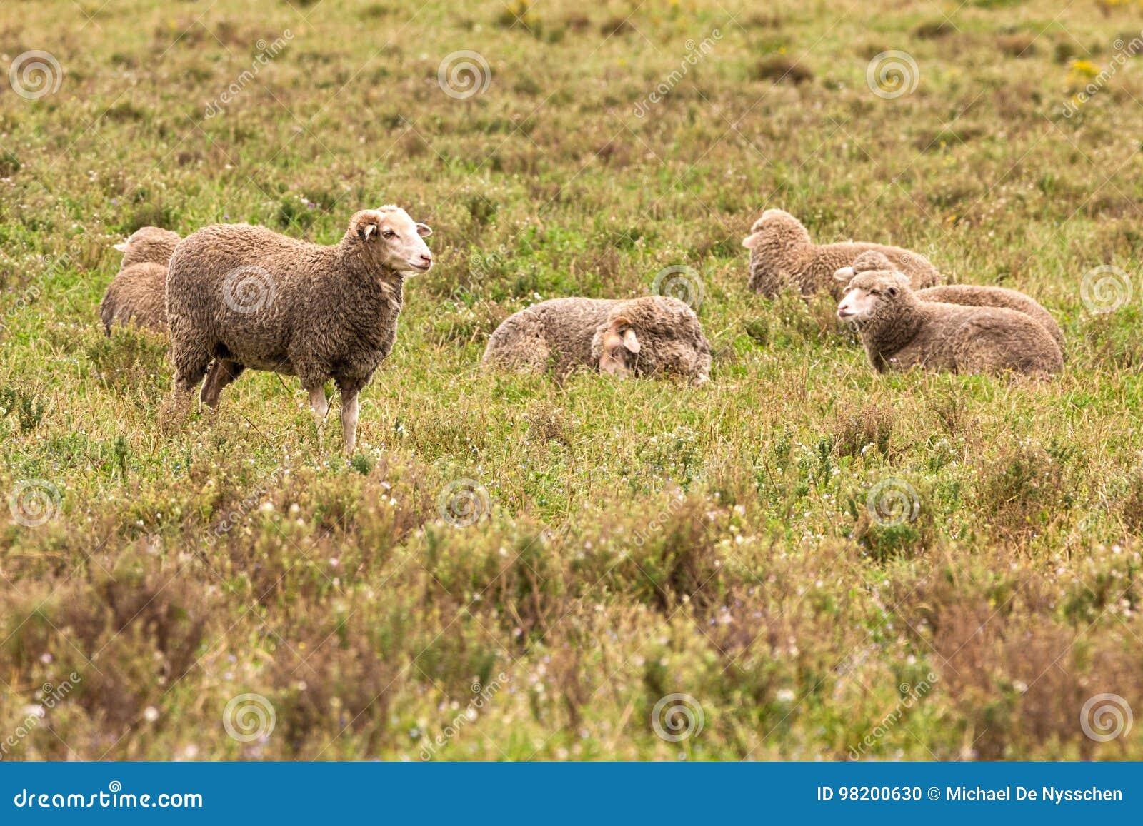 Download Овцы в выгоне рано утром стоковое фото. изображение насчитывающей раньше - 98200630