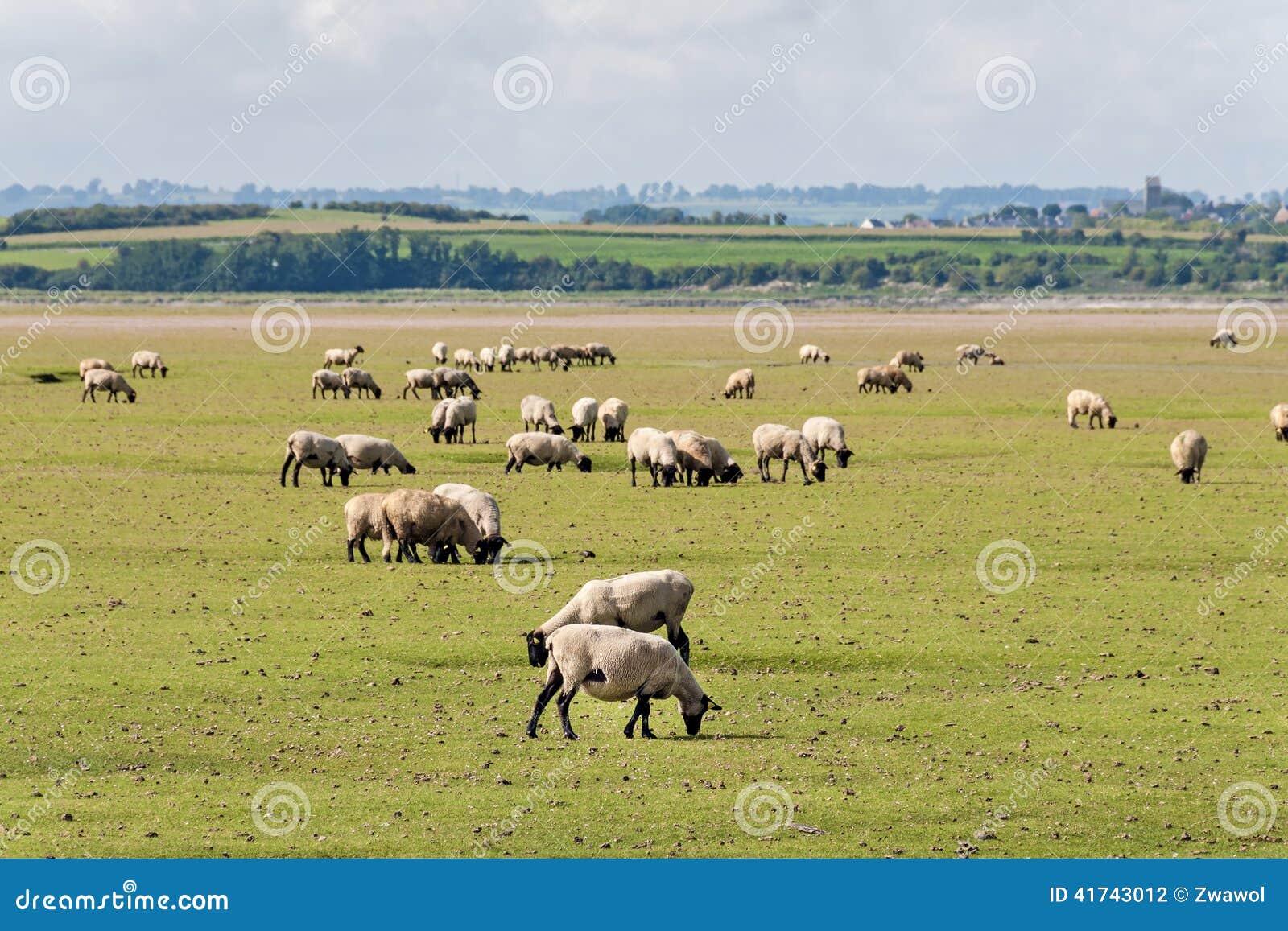 Овцы в Нормандии