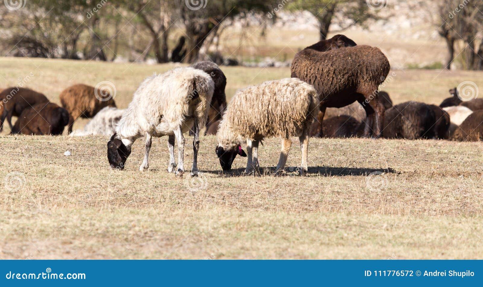 Овцы в природе в осени
