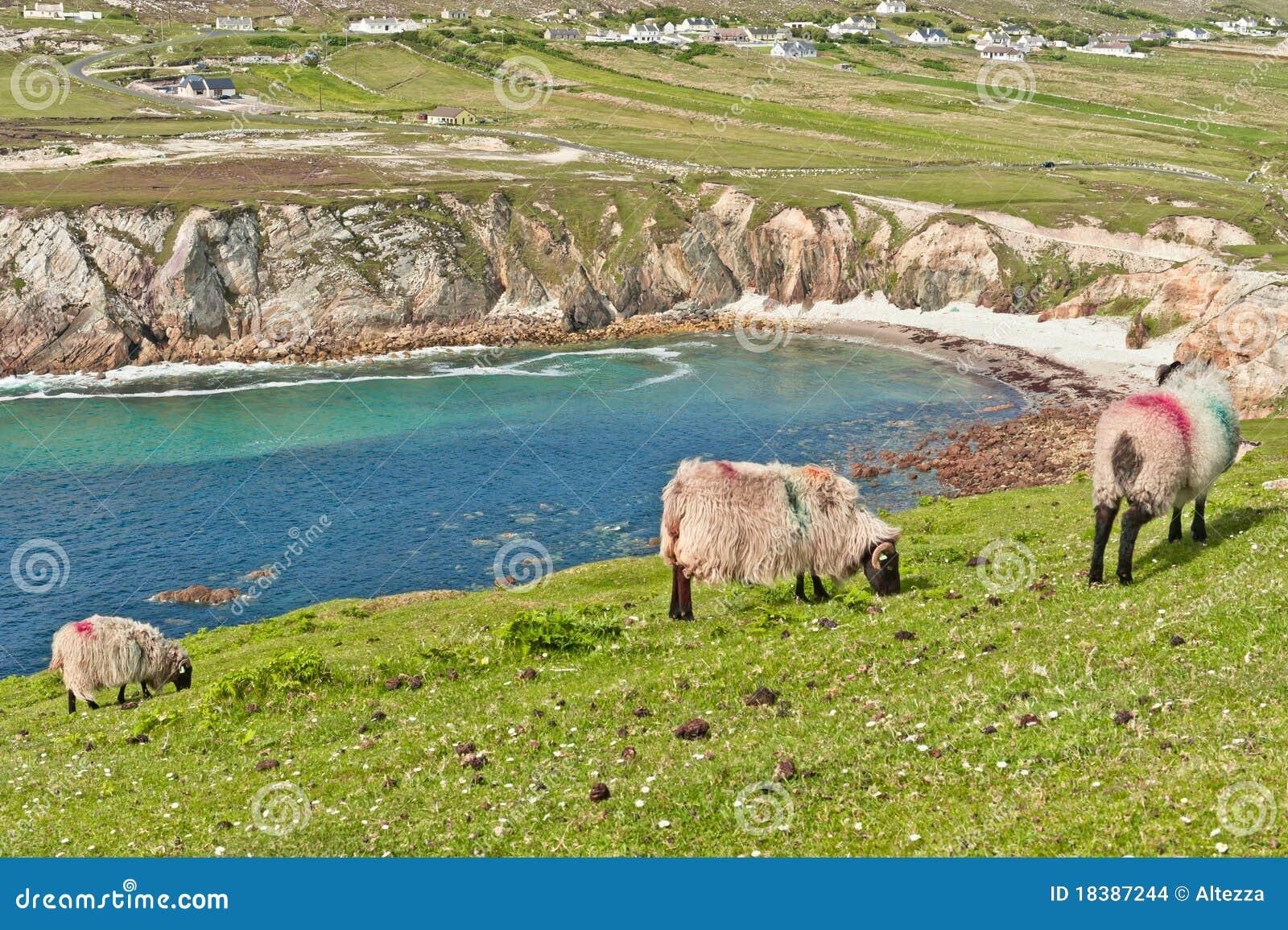 овцы Ирландии clifftop