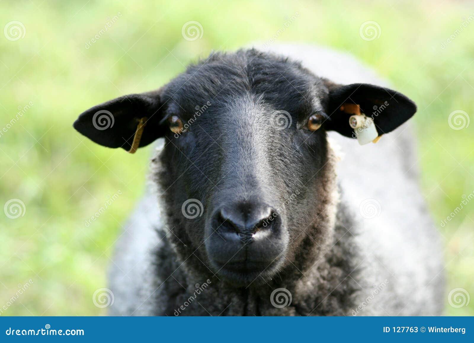 овцы крупного плана