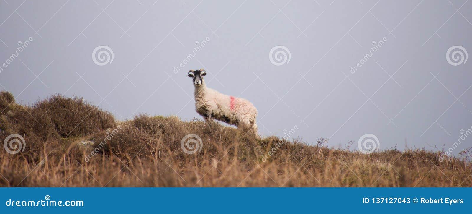 Овцы на a причаливают против горизонта