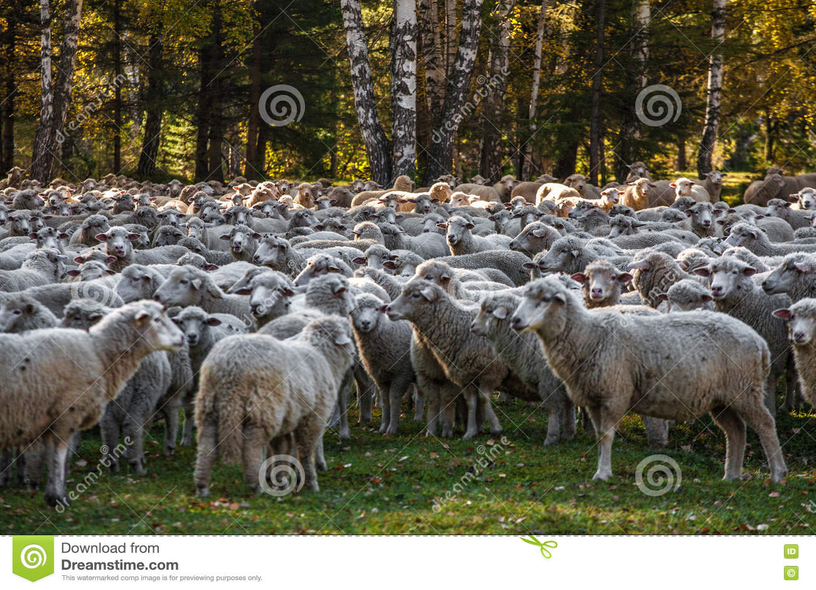 Download Овцы пася около леса стоковое фото. изображение насчитывающей пасти - 72290390