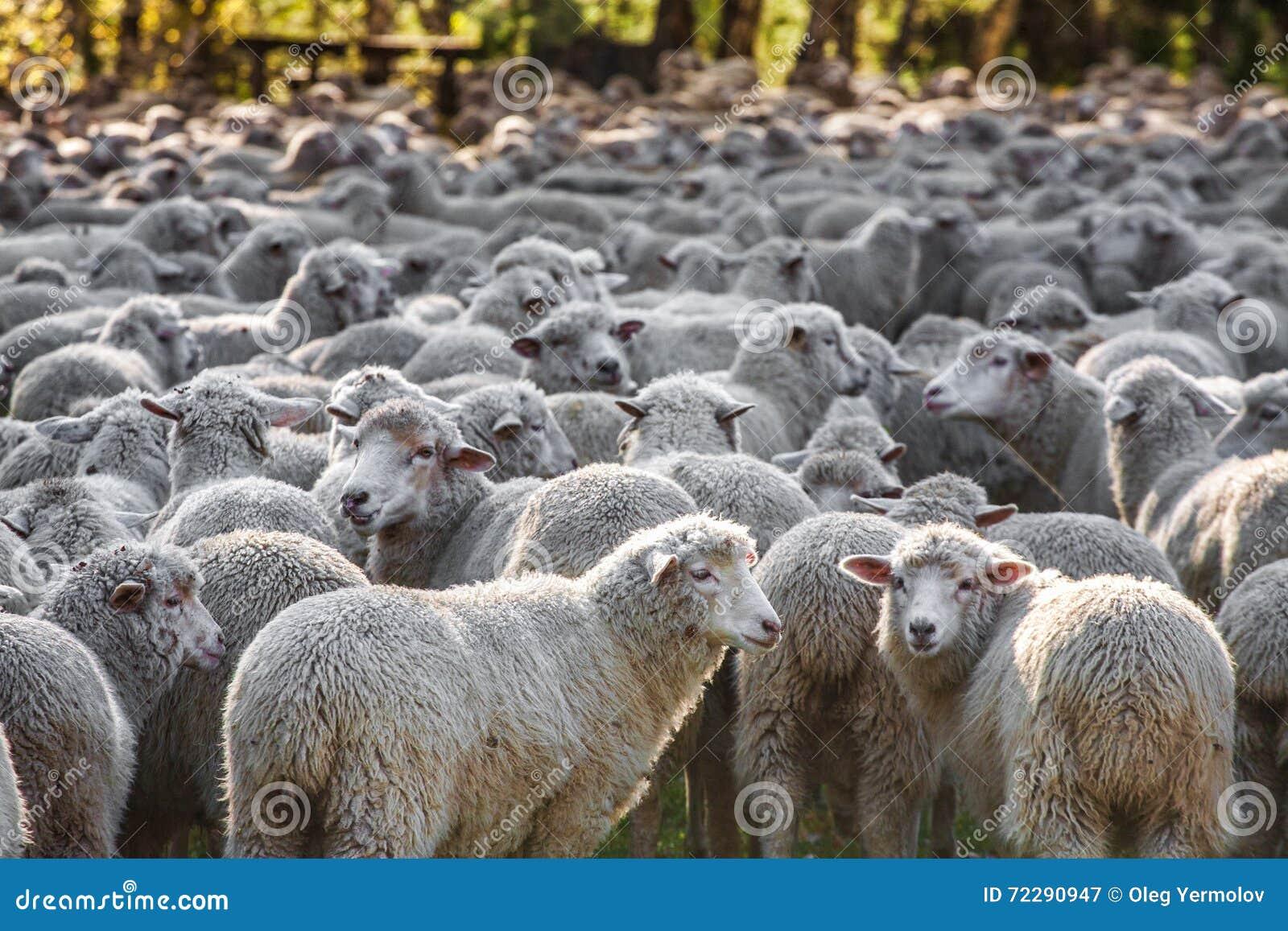 Download Овцы пася около леса стоковое изображение. изображение насчитывающей место - 72290947