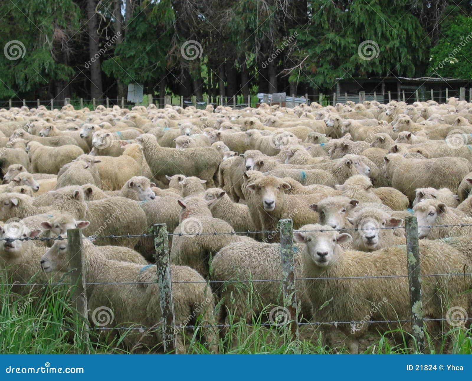 овцы поля