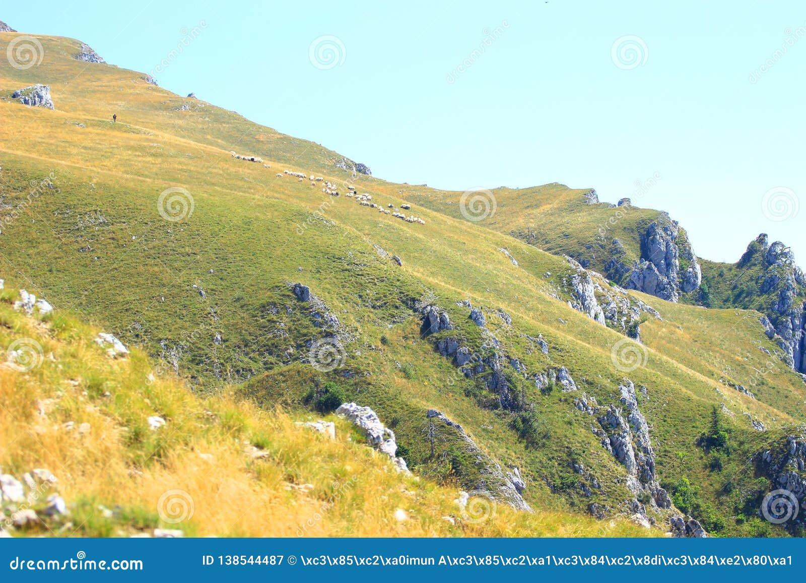 Овцы собираются на луге горы