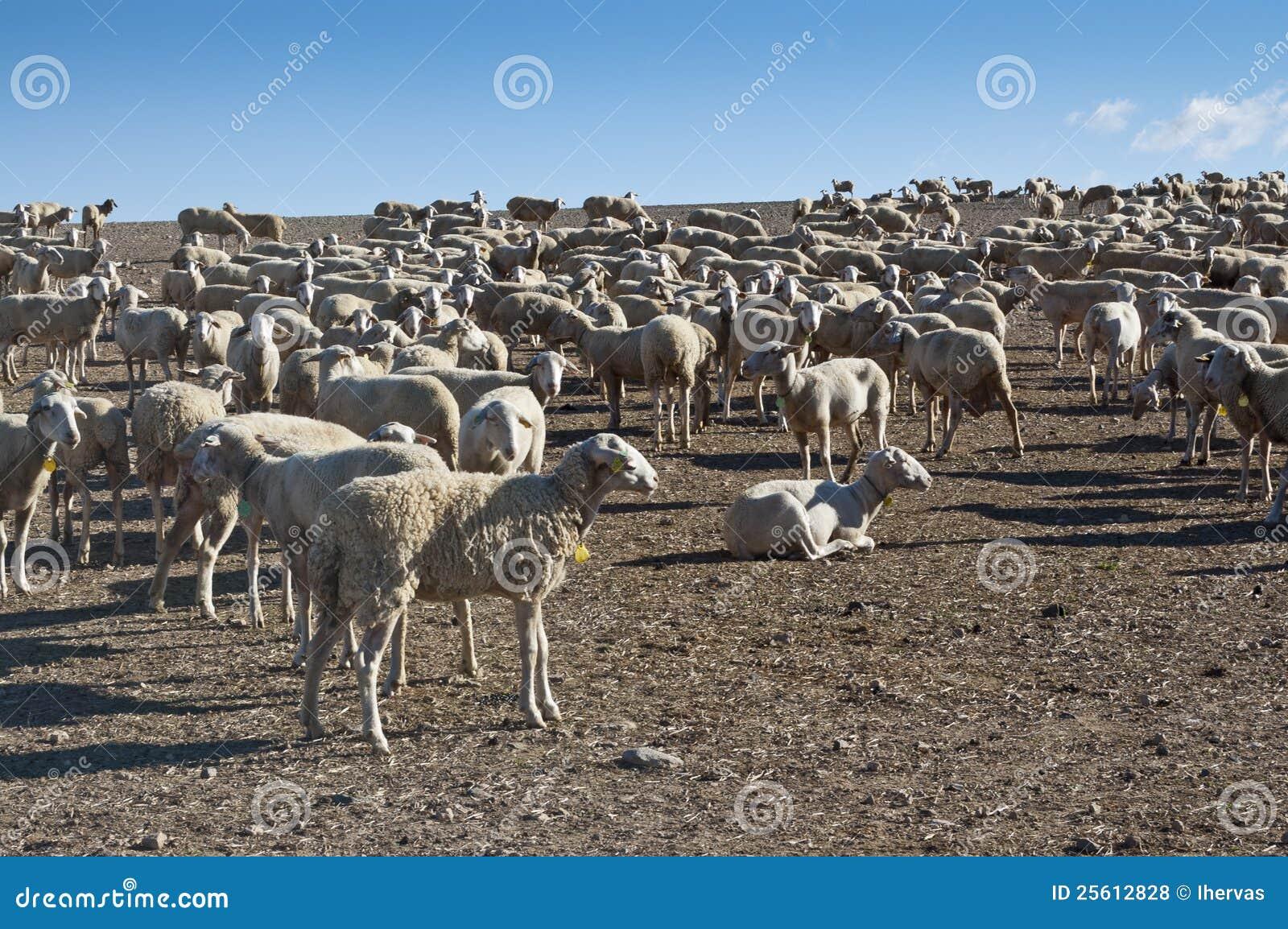 овцы стаи
