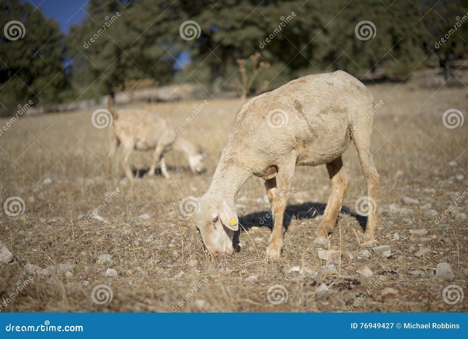 овцы стриженые
