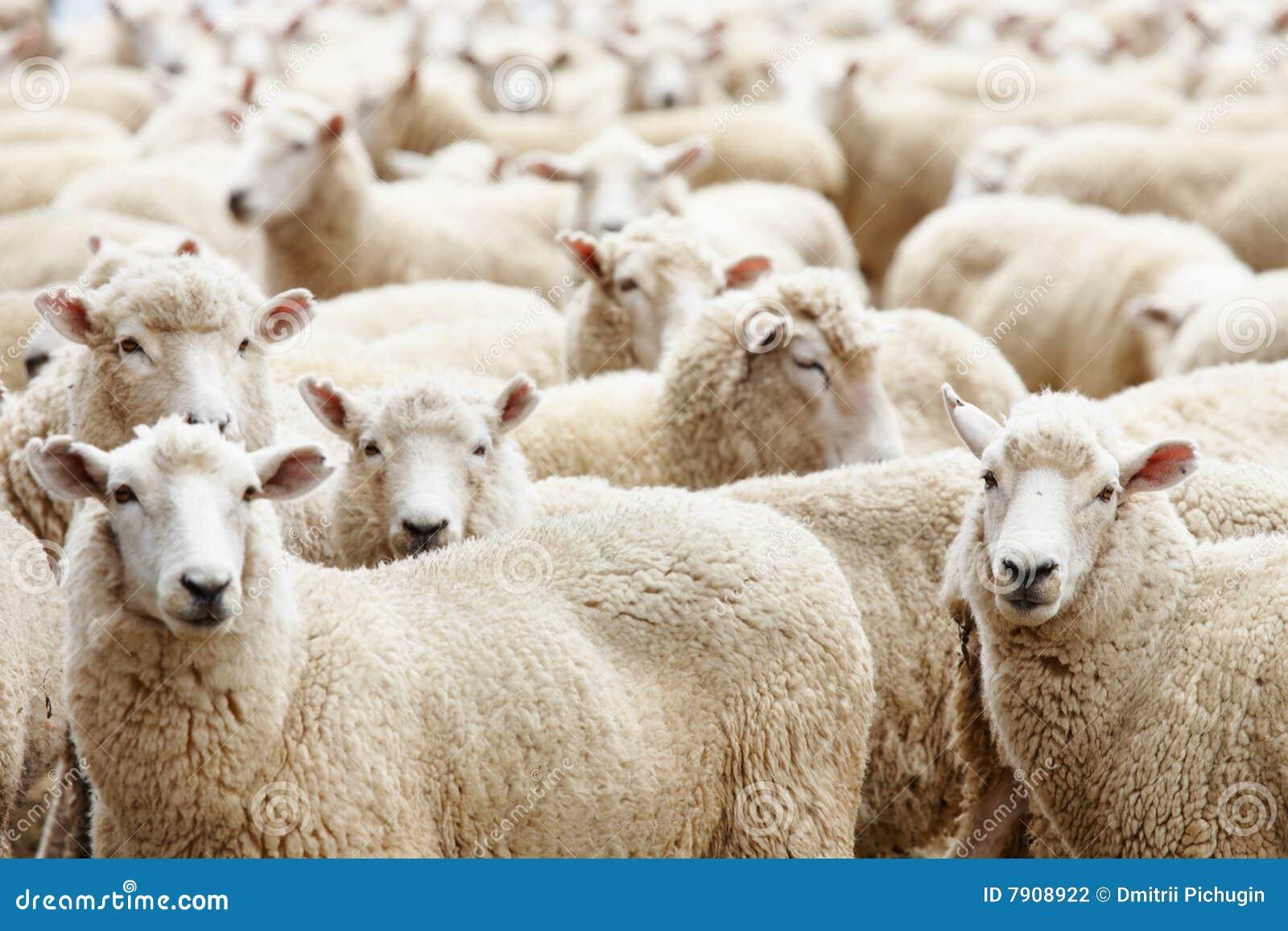 овцы табуна