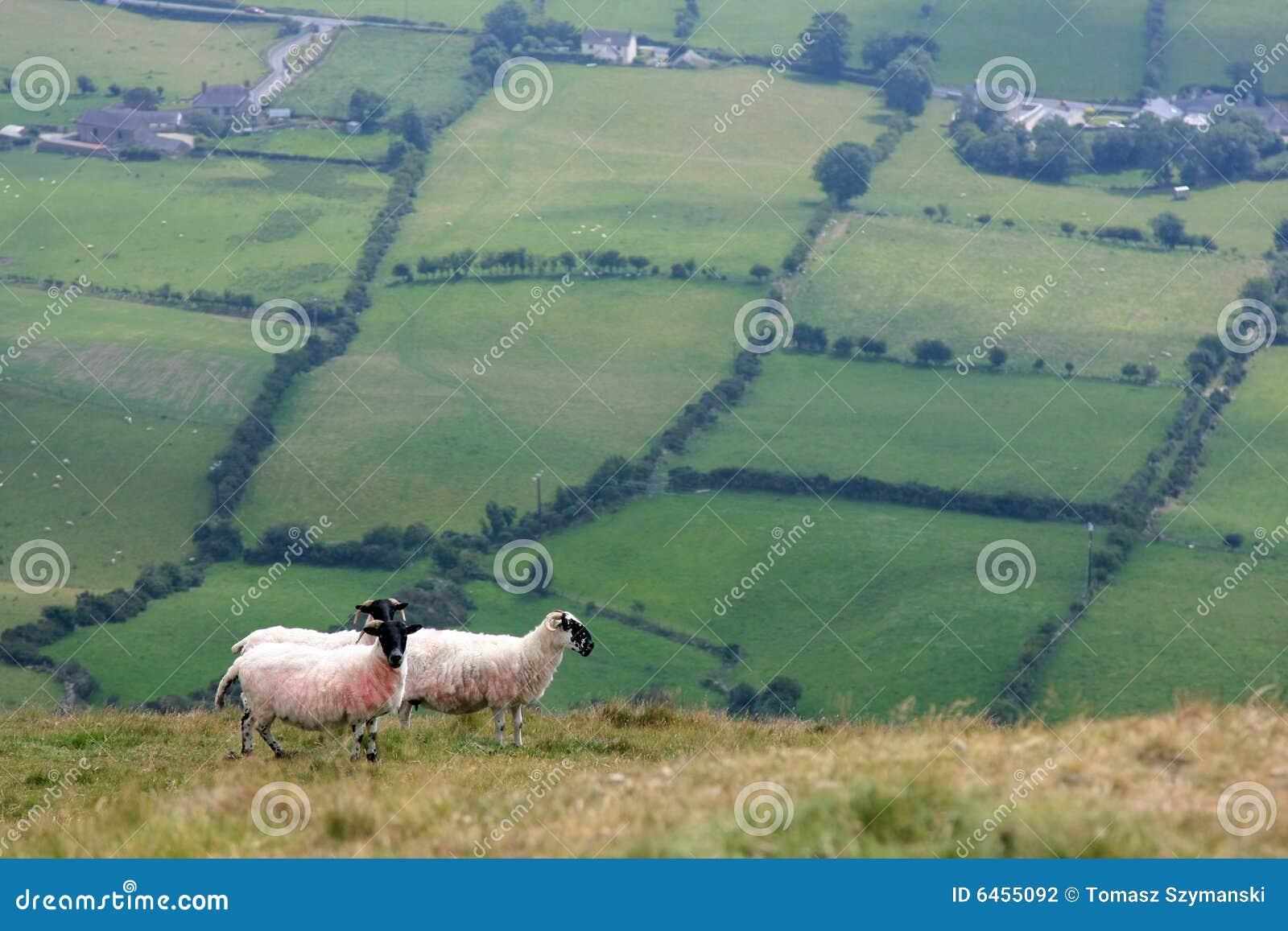 овцы холмов
