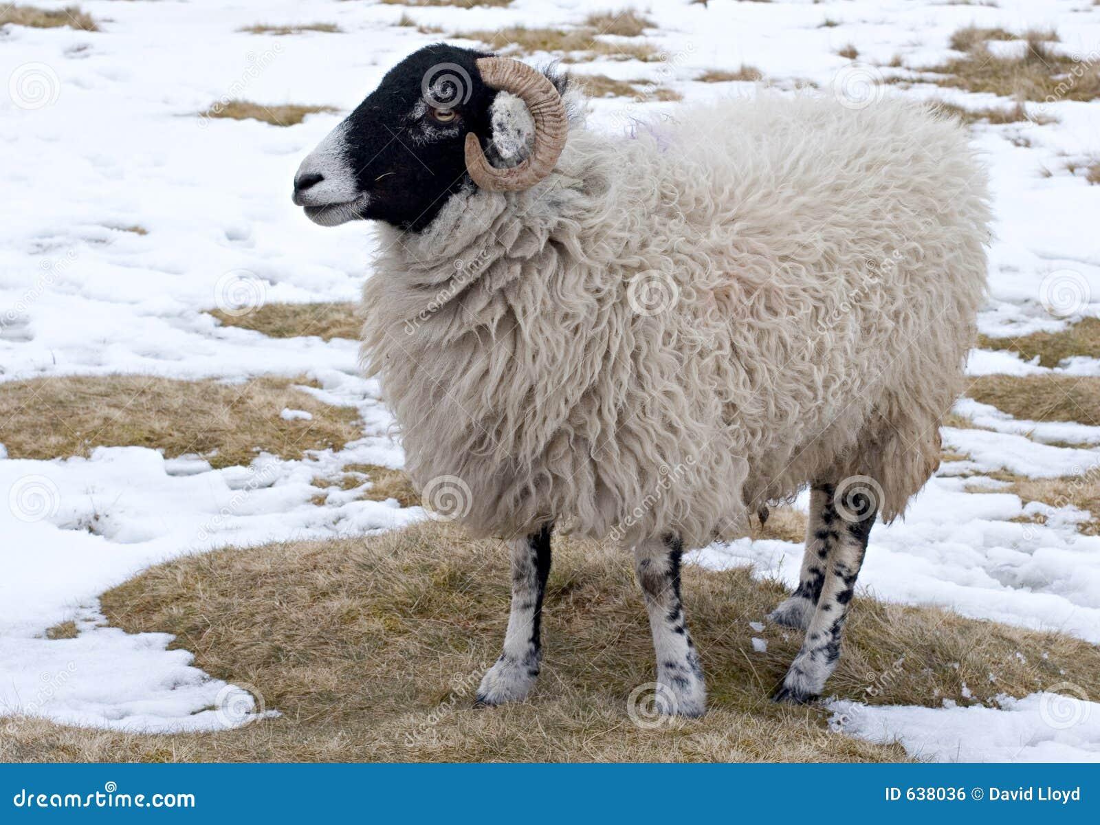 Download овцы стоковое фото. изображение насчитывающей снежок, холодно - 638036