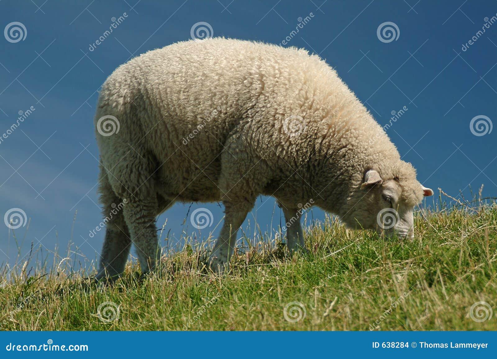 Download овцы стоковое фото. изображение насчитывающей облака, поголовье - 638284
