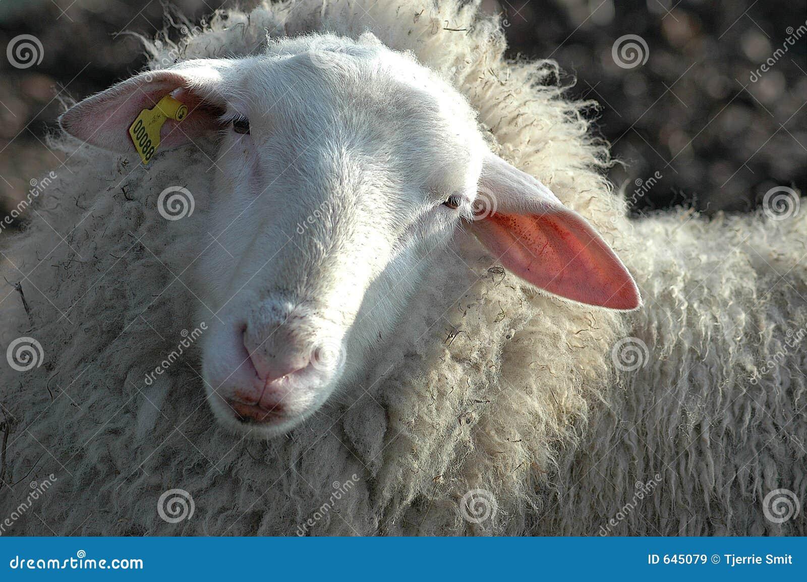 Download овцы стоковое изображение. изображение насчитывающей farming - 645079
