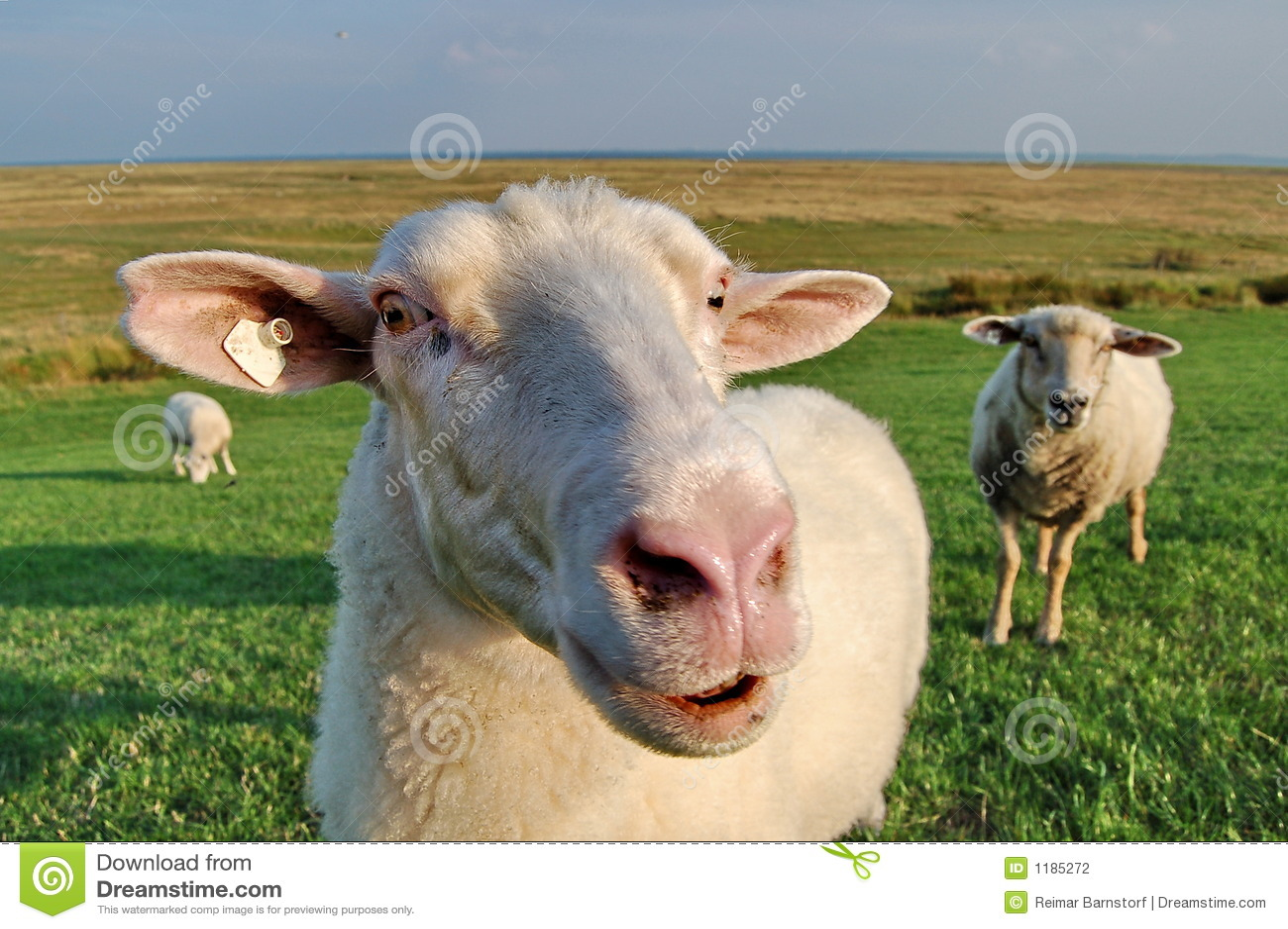 овцы dike