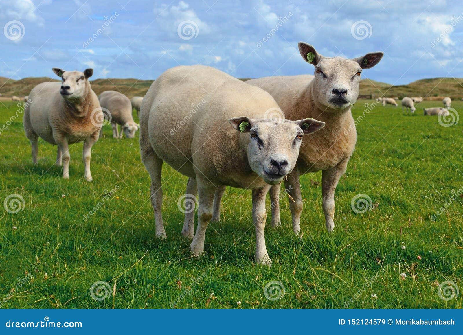 Овцы Texel, тяжело muscled порода отечественных овец от острова Texel в liv Нидерланд