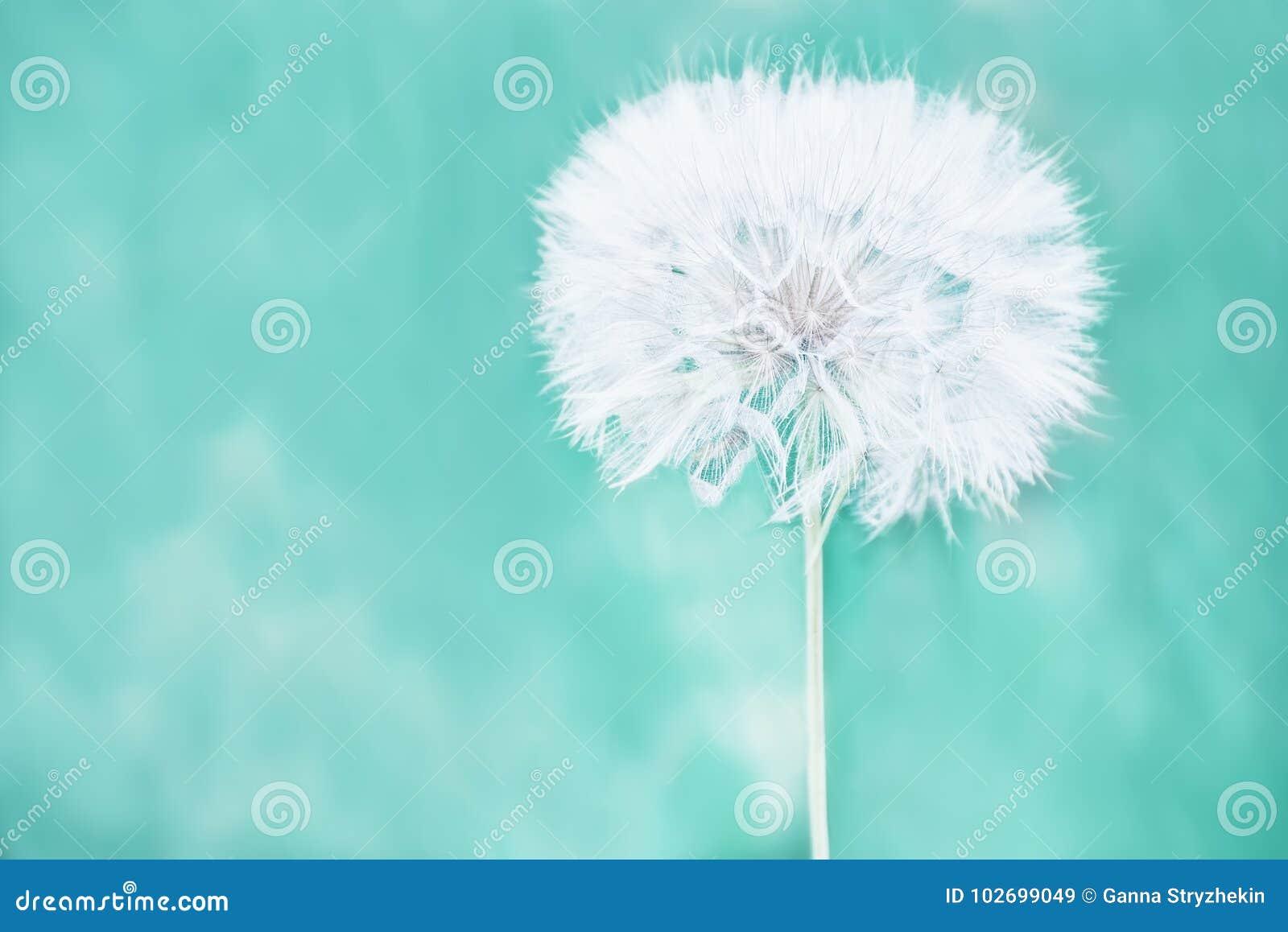 Огромный пушистый белый шарик цветка одуванчика