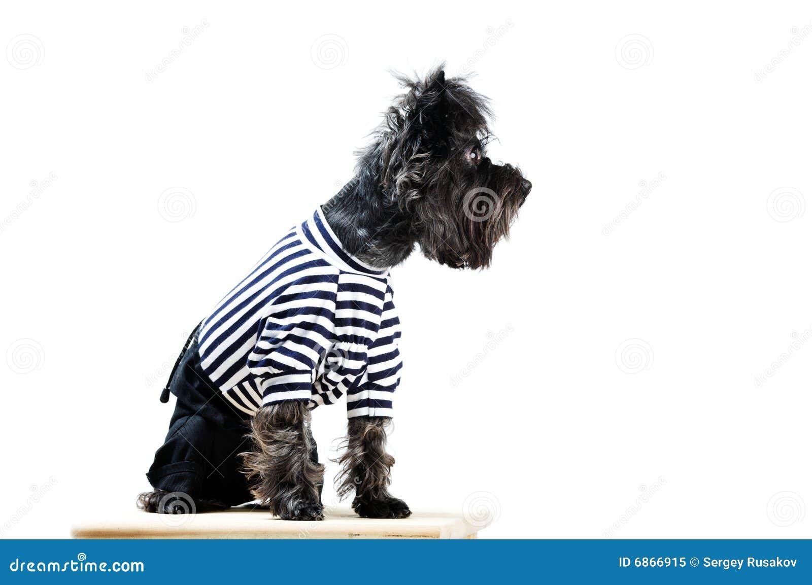 одевает terrier yorkshire