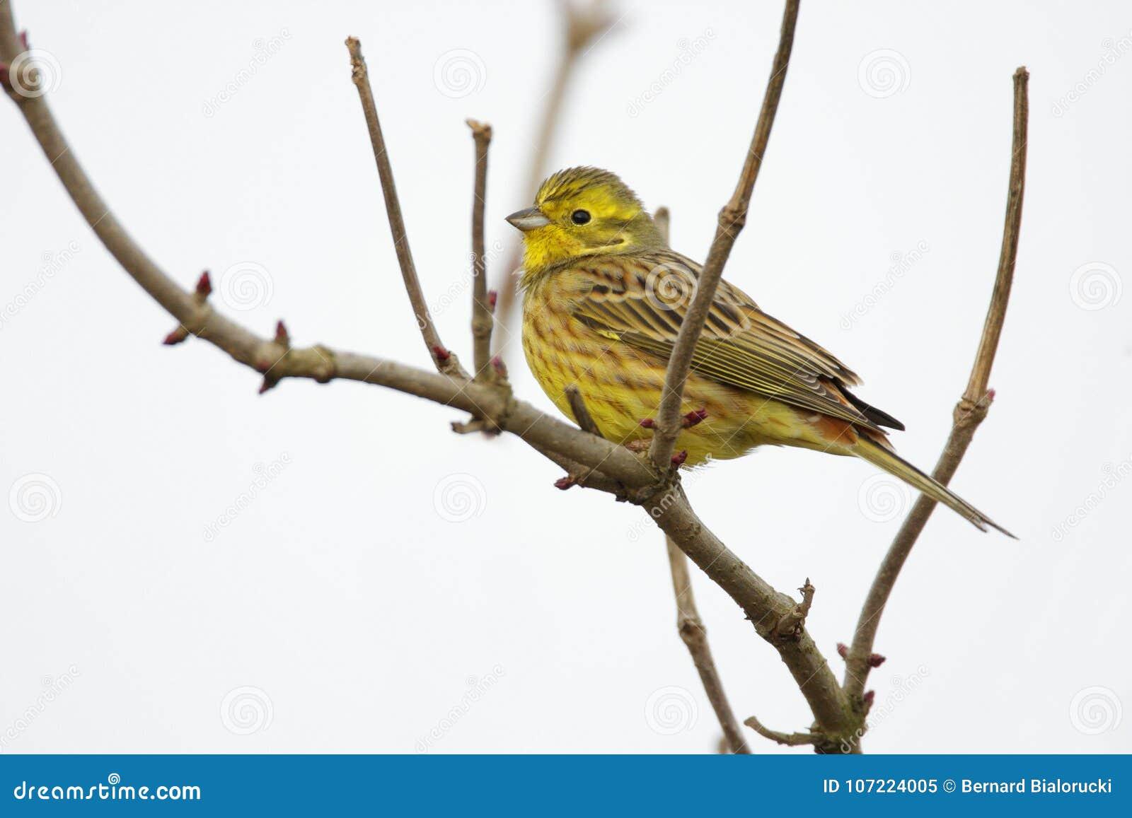 Одиночная птица Serin европейца на хворостине дерева