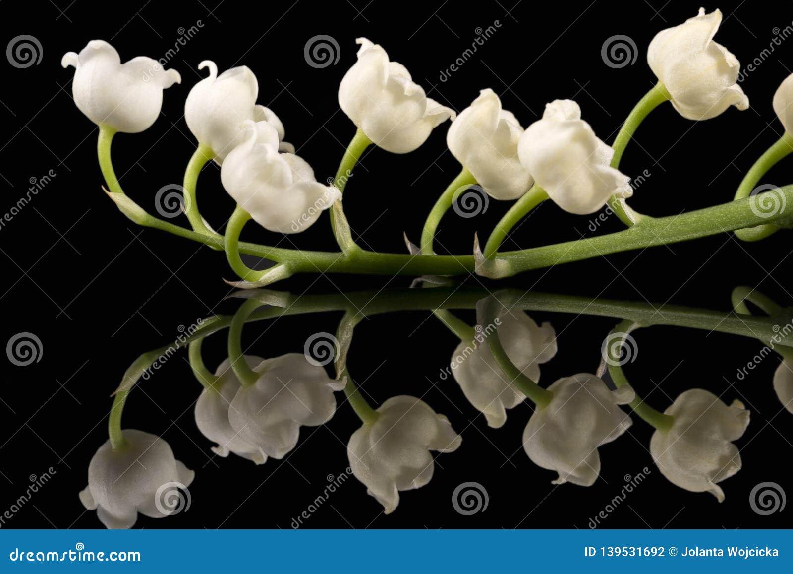 Одиночная хворостина цветков весны ландыша majalis Convallaria изолированного на черной предпосылке