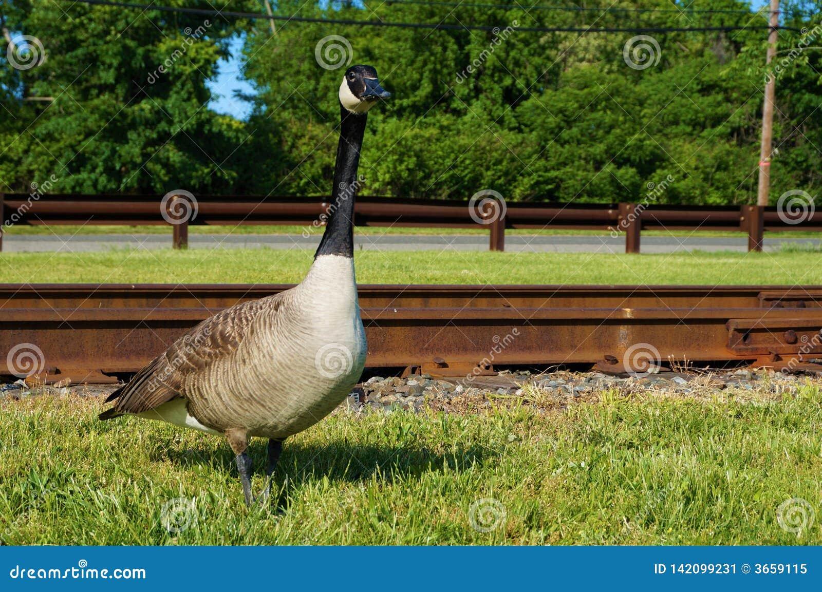 Одиночное взрослое канадское положение гусыни в зеленой траве с ржавыми железнодорожными путями на предпосылке Взгляд крупного пл