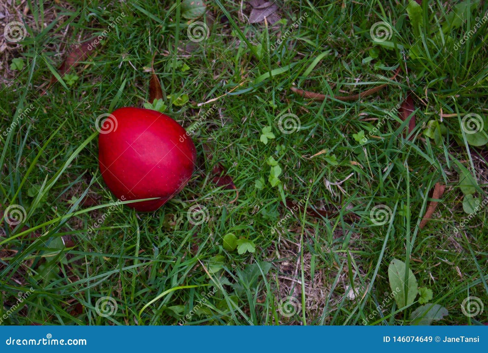 Одиночное красное Яблоко лежа на грубой траве в осени - изображении