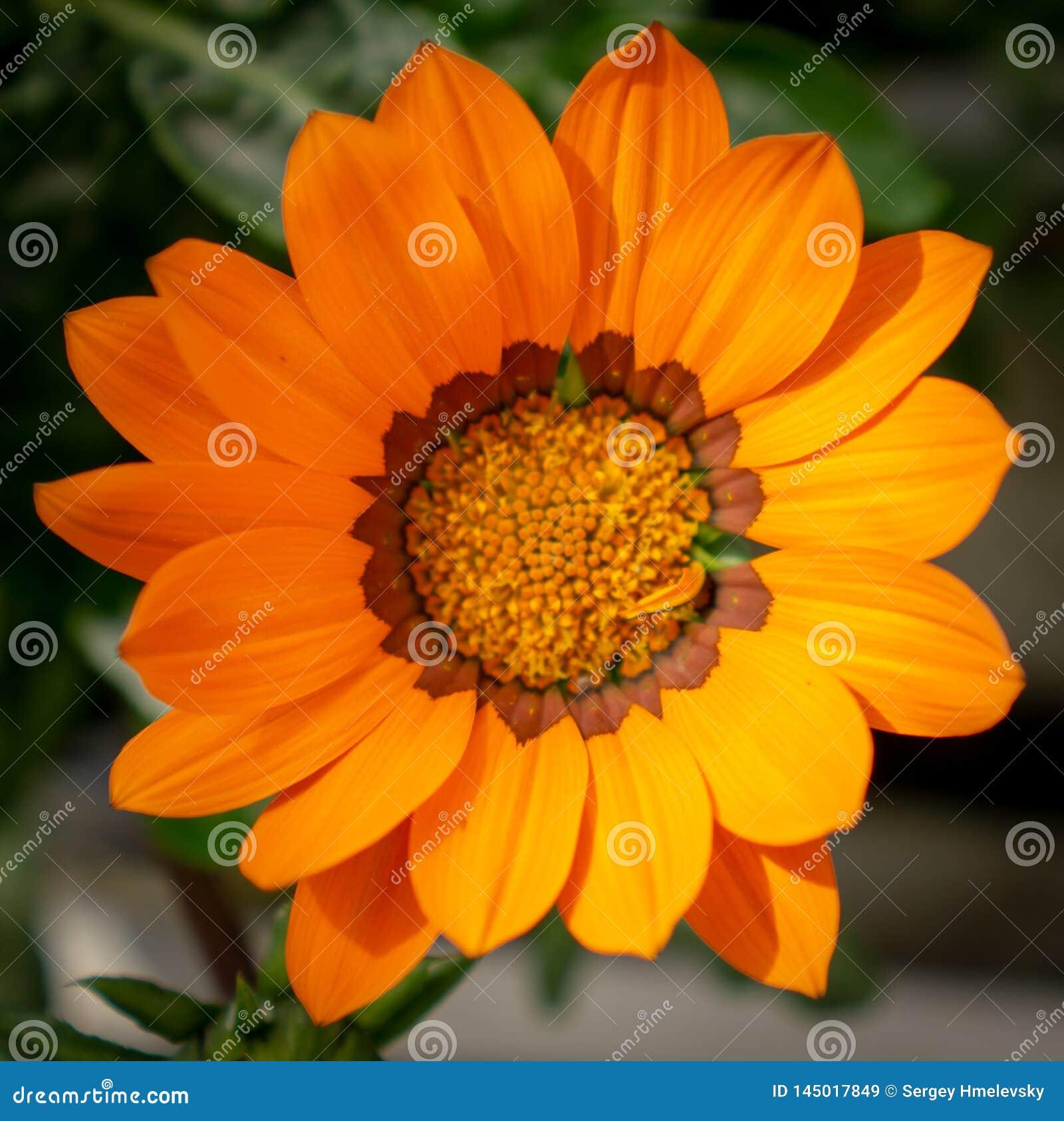 Одиночный оранжевый крупный план цветка gazania