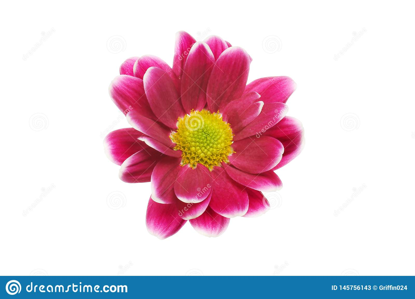 Одиночный цветок хризантемы