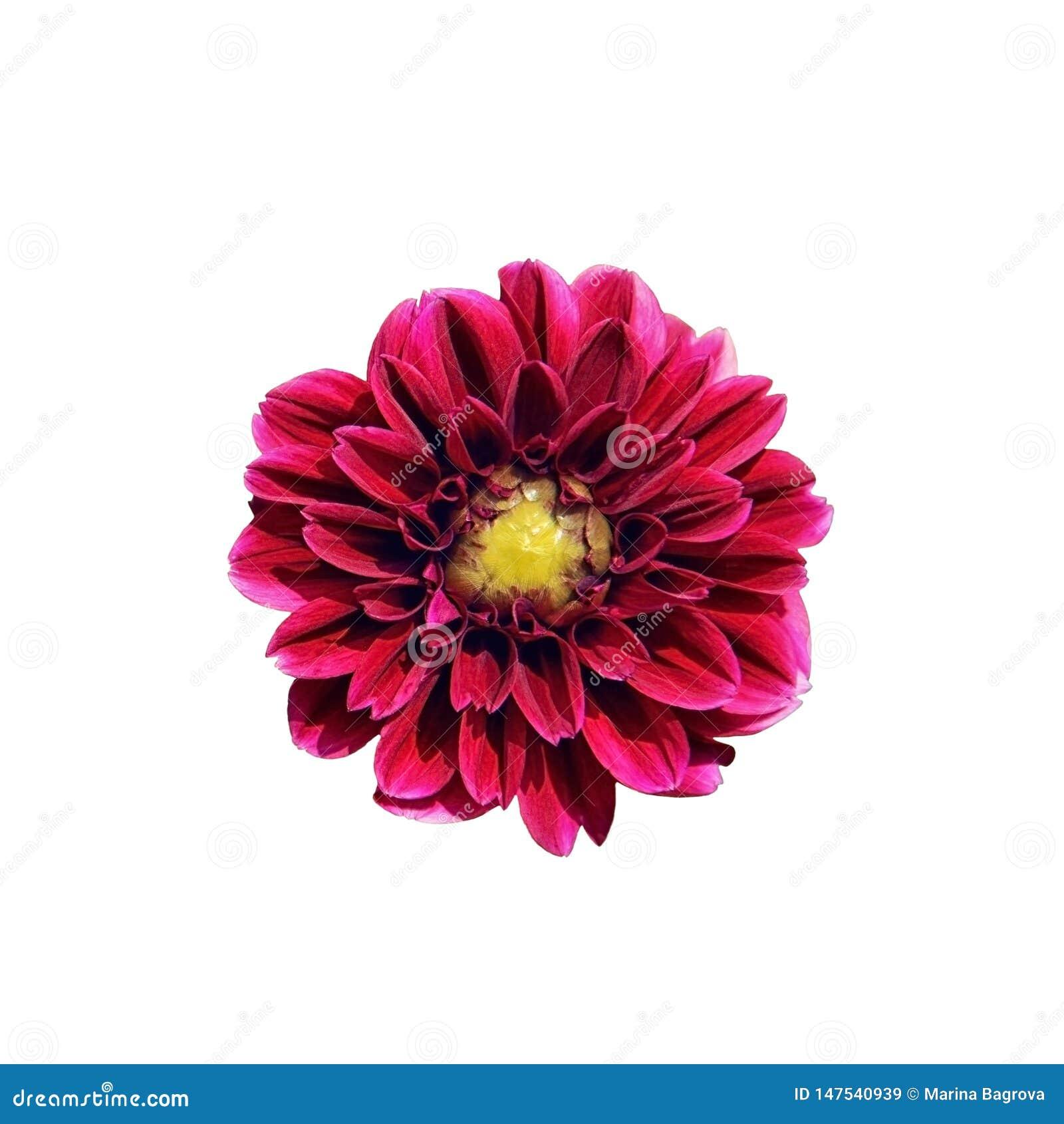 Одиночный яркий розовый цветок георгина изолированный на белой предпосылке r Красивый пурпурный цветок с желтой серединой