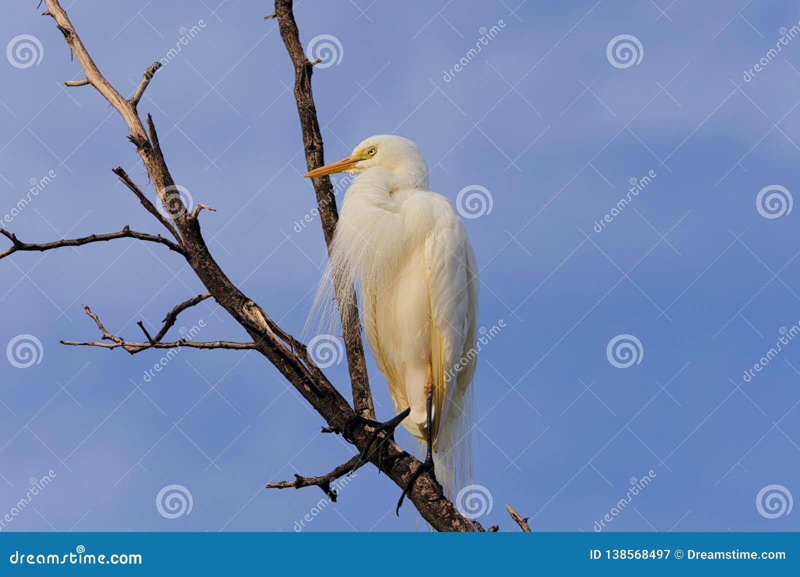 Одиночный Bubulcus ibis Egret скотин на мертвом дереве
