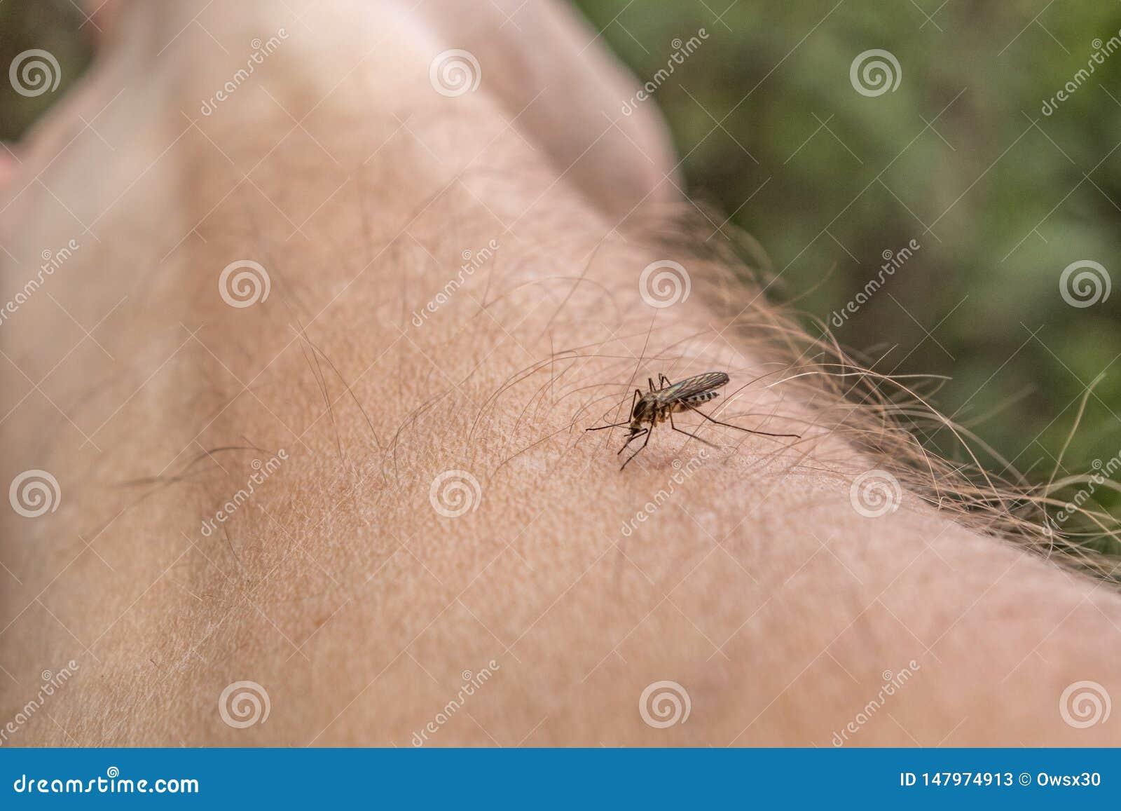 Один москит сидит на руке, прокалывает кожу и сосет человеческую кровь Причиняет малярию заболеванием Москиты опасны