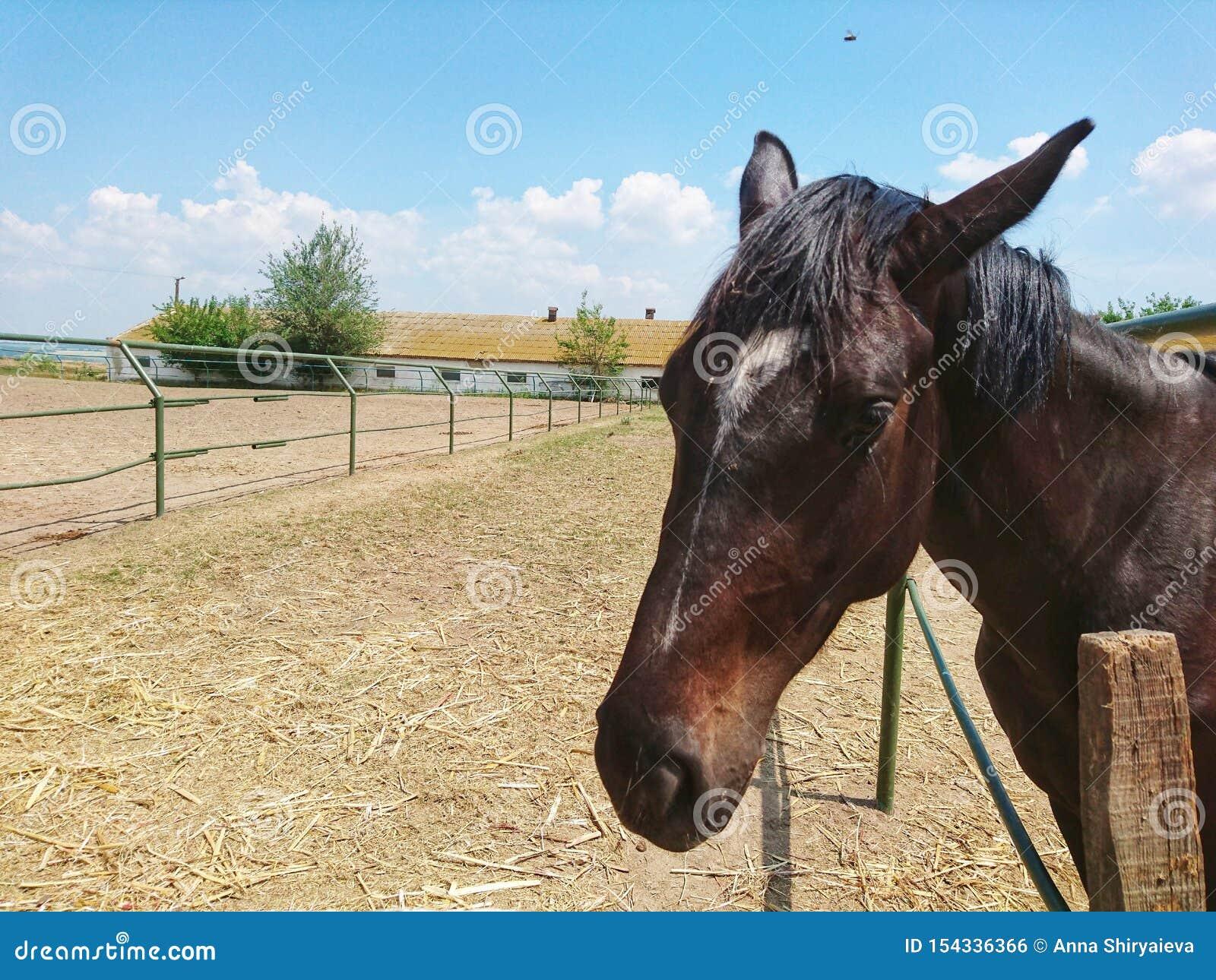 Одна красивая лошадь племенника идет на ранчо против голубого неба и белых облаков