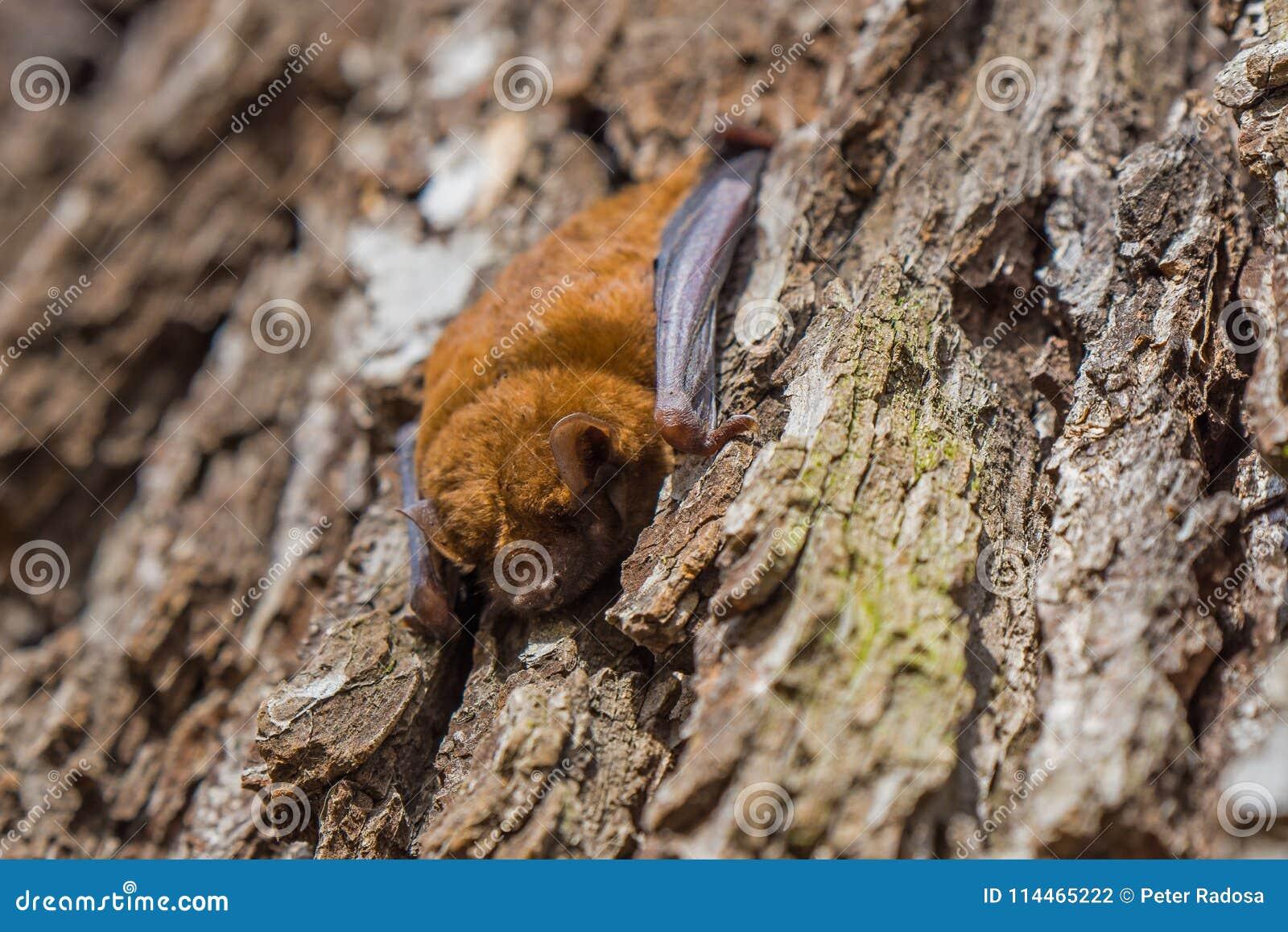 Одна летучая мышь спит на расшиве ствола дерева