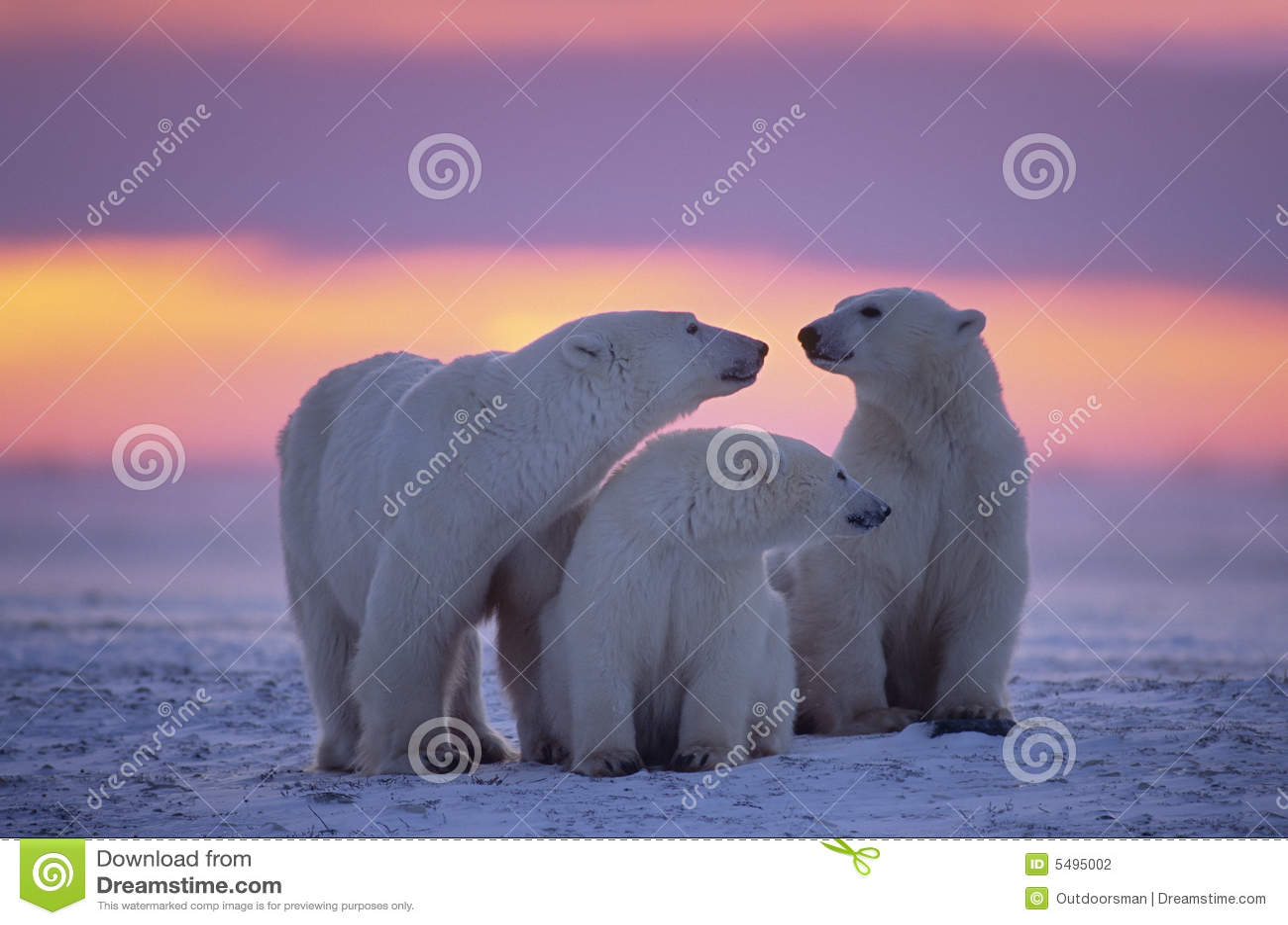 одногодок новичков медведя приполюсный