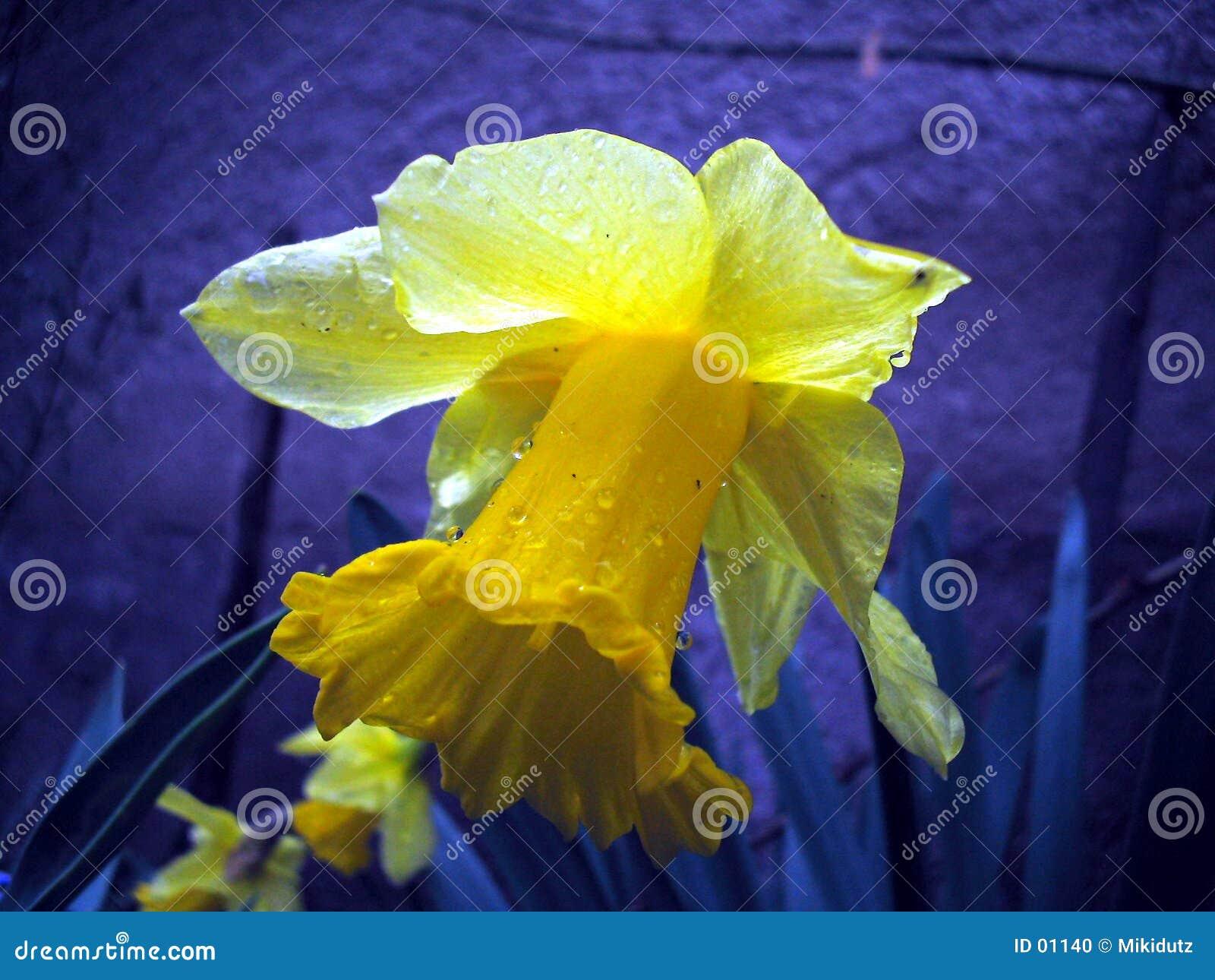 одолженная лилия