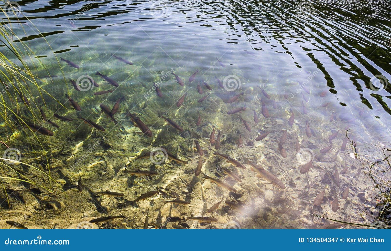 Озерная форель в озерах